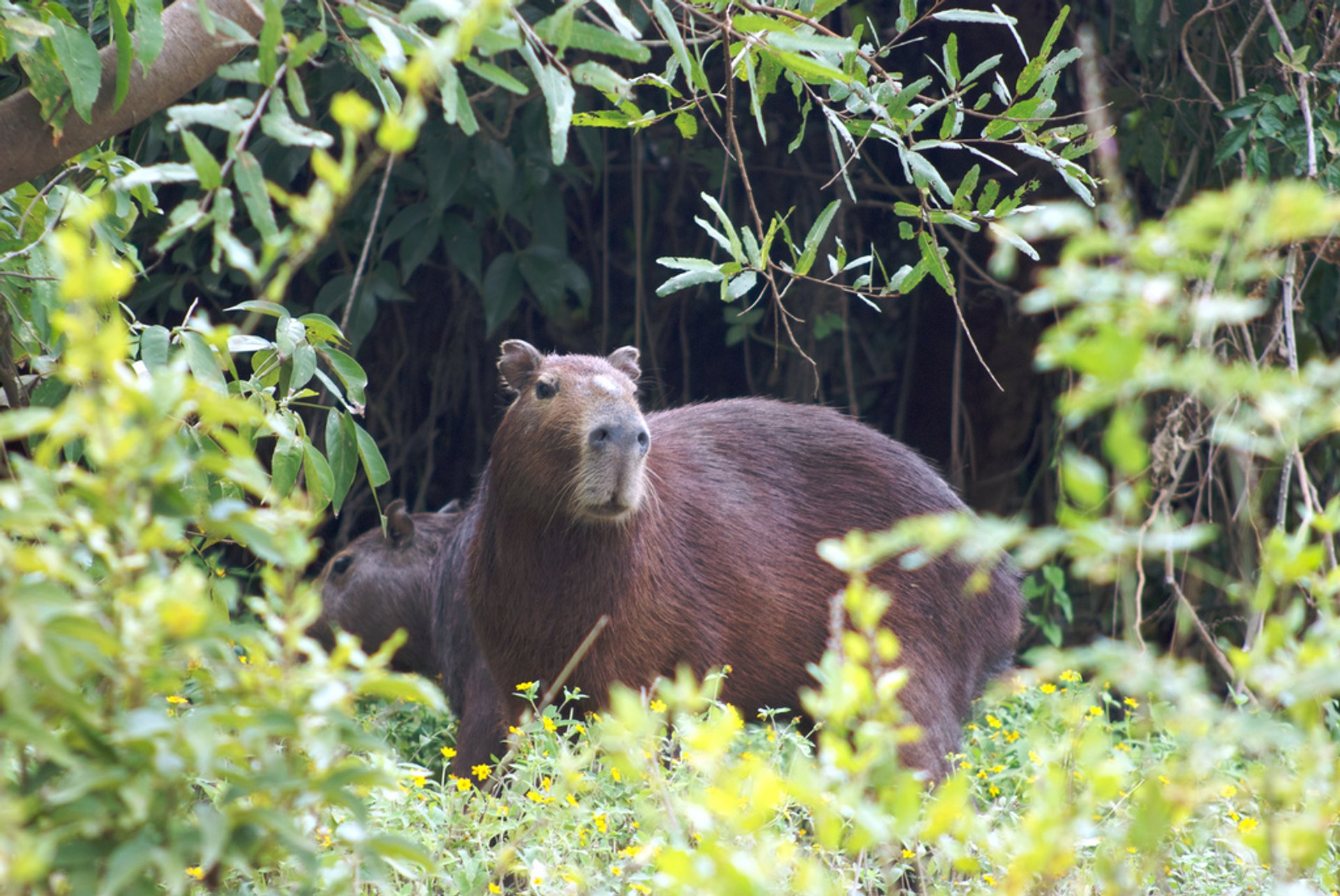 Capybara in Bolivia 2020 - Best Time