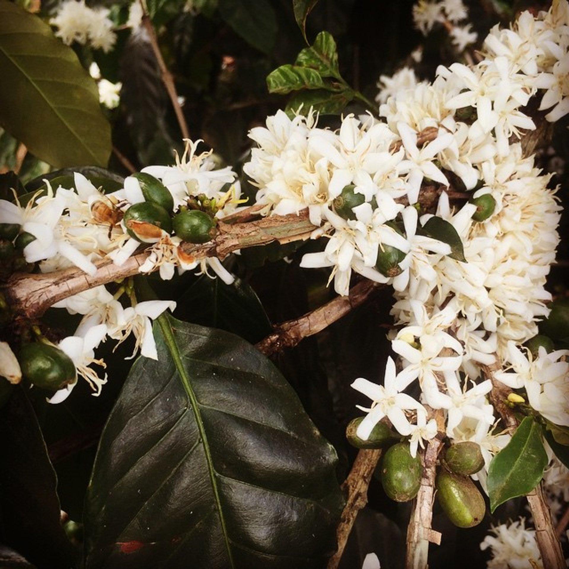 Сoffee Blooming Season in Vietnam - Best Time