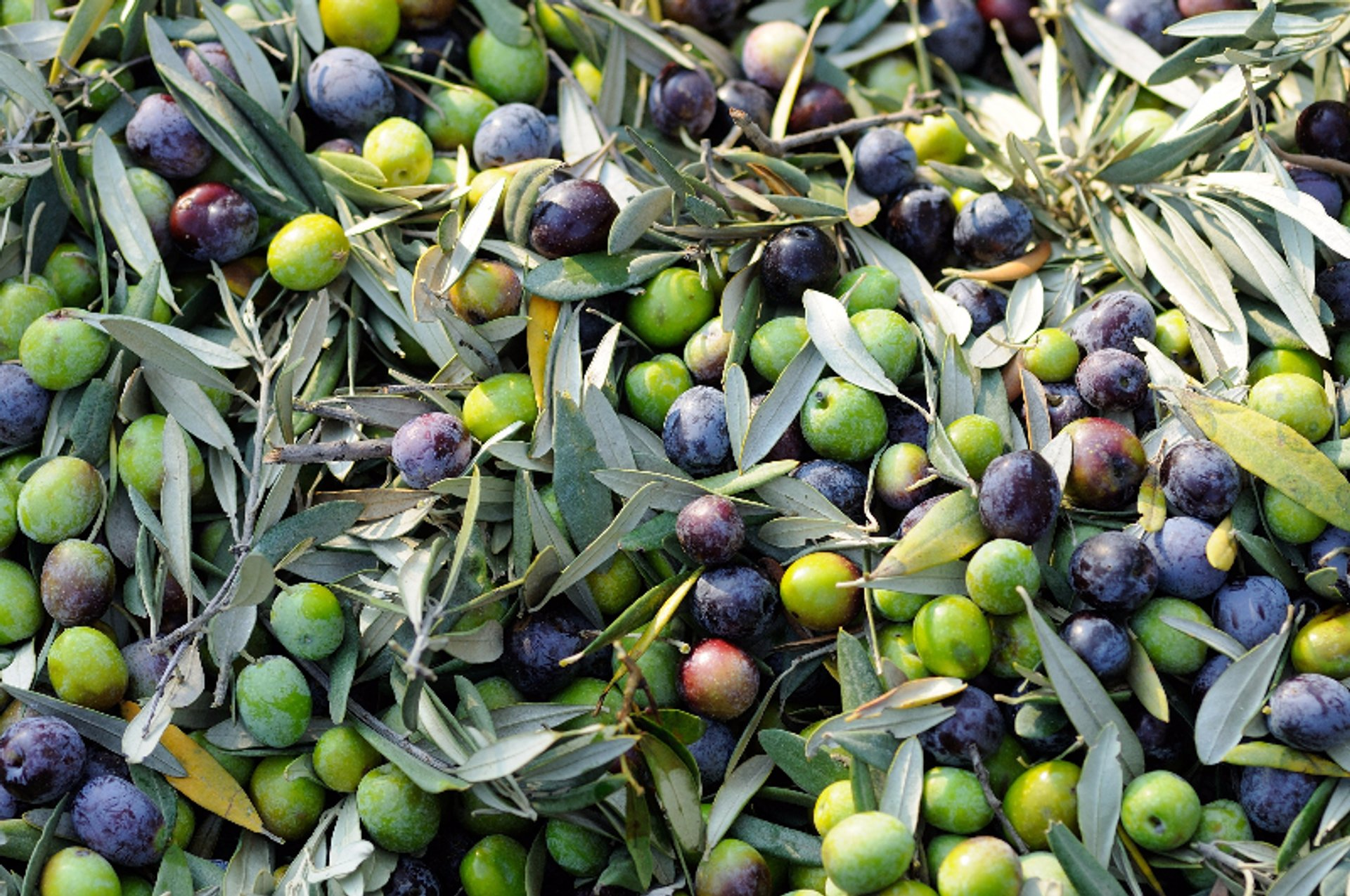 Olive Harvest in Crete 2019 - Best Time