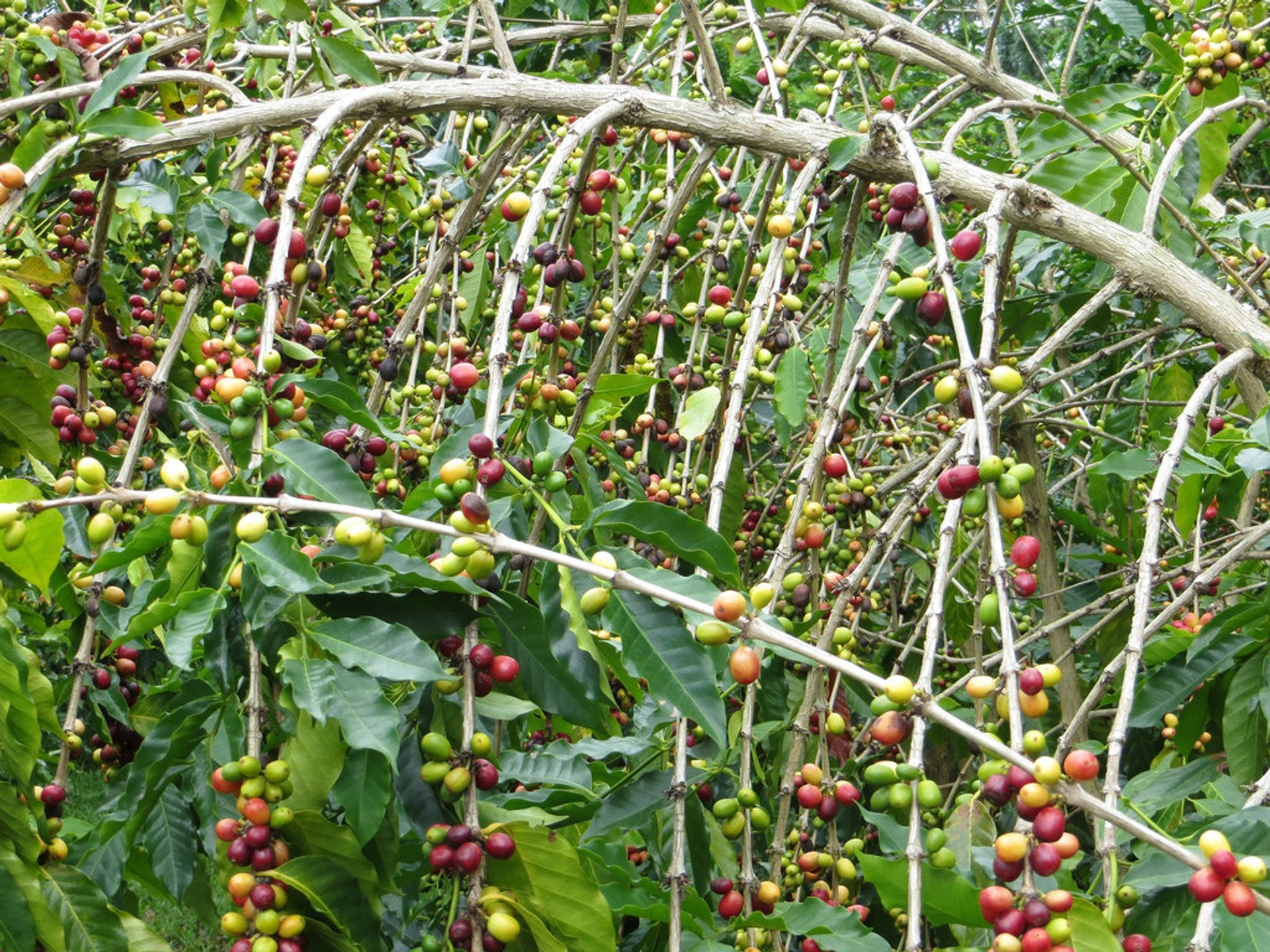 Kona Coffee Harvest in Hawaii - Best Season 2019