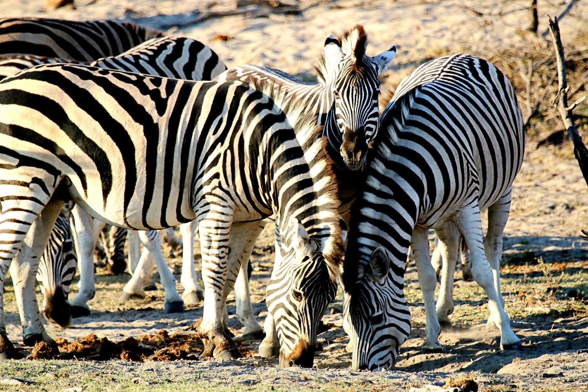 African Zebras in Botswana 2020 - Best Time