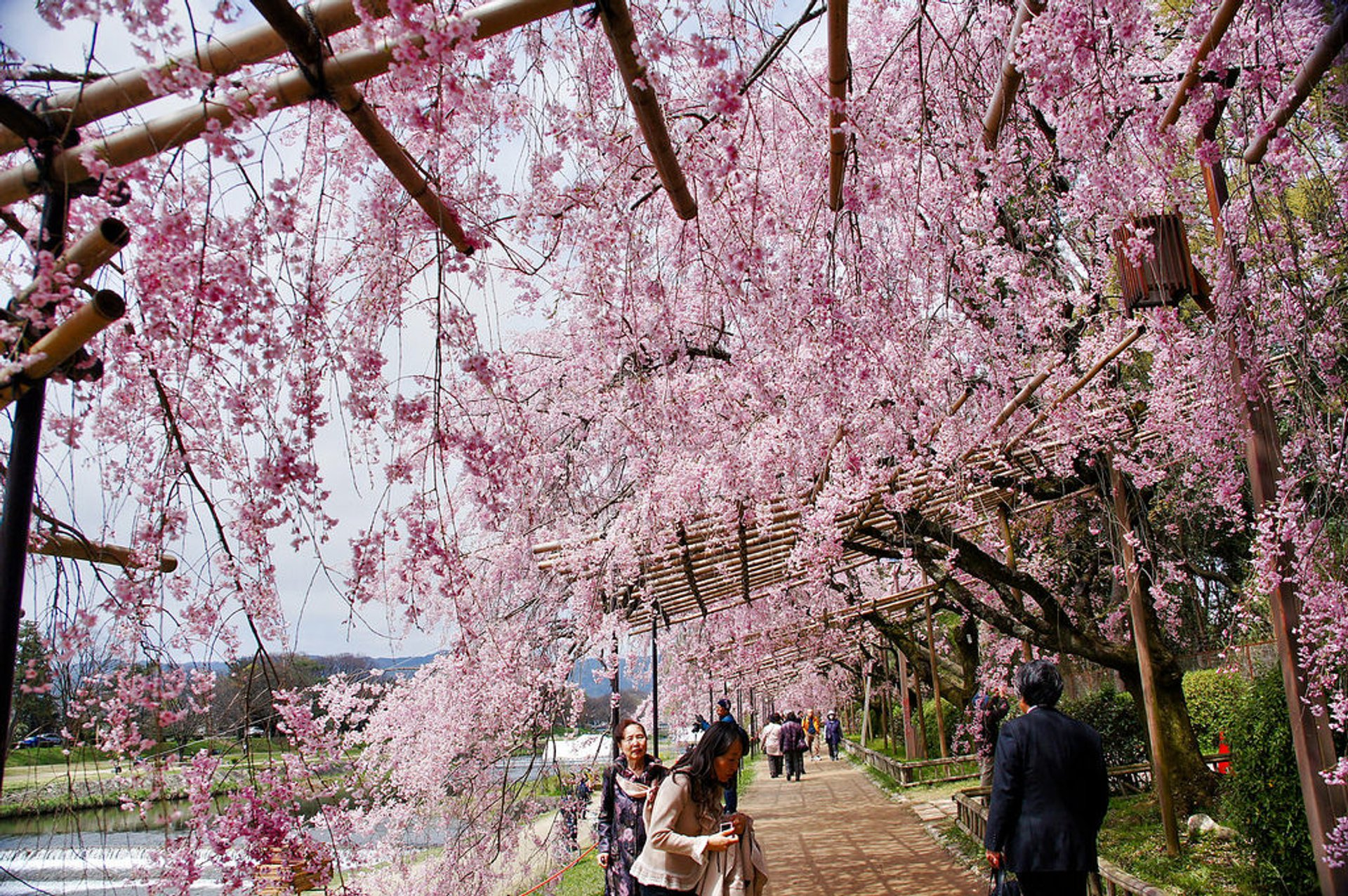 Kyoto hanami. Nakaragi no Michi (Nakaragi Path) runs outside the Kyoto Botanical garden along the riverbank 2020