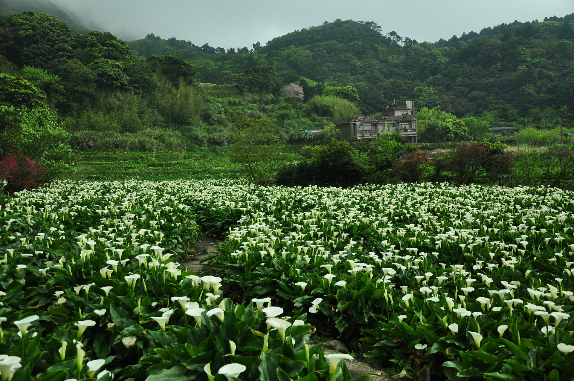 Best time for Calla Lily Festival in Taiwan 2019