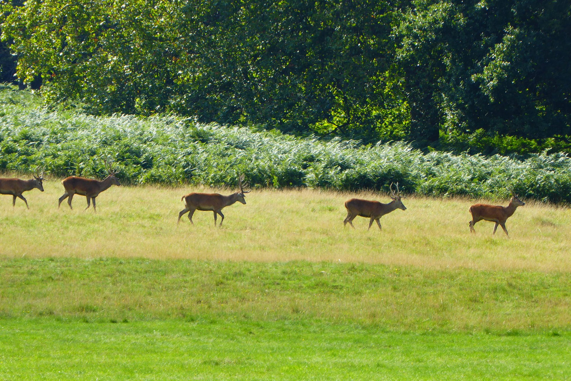 Deer Watching in Richmond Park in London - Best Season 2020