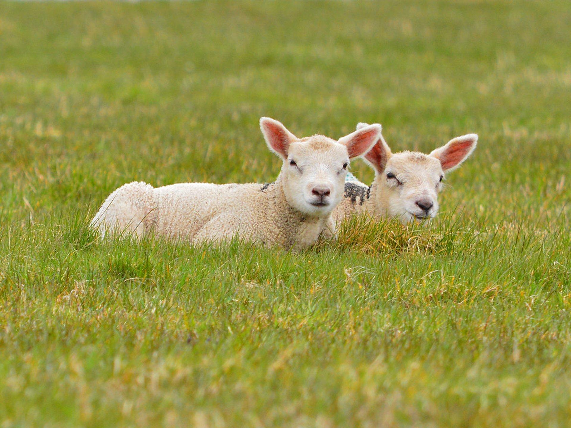 Lambs at Sheeplands 2020