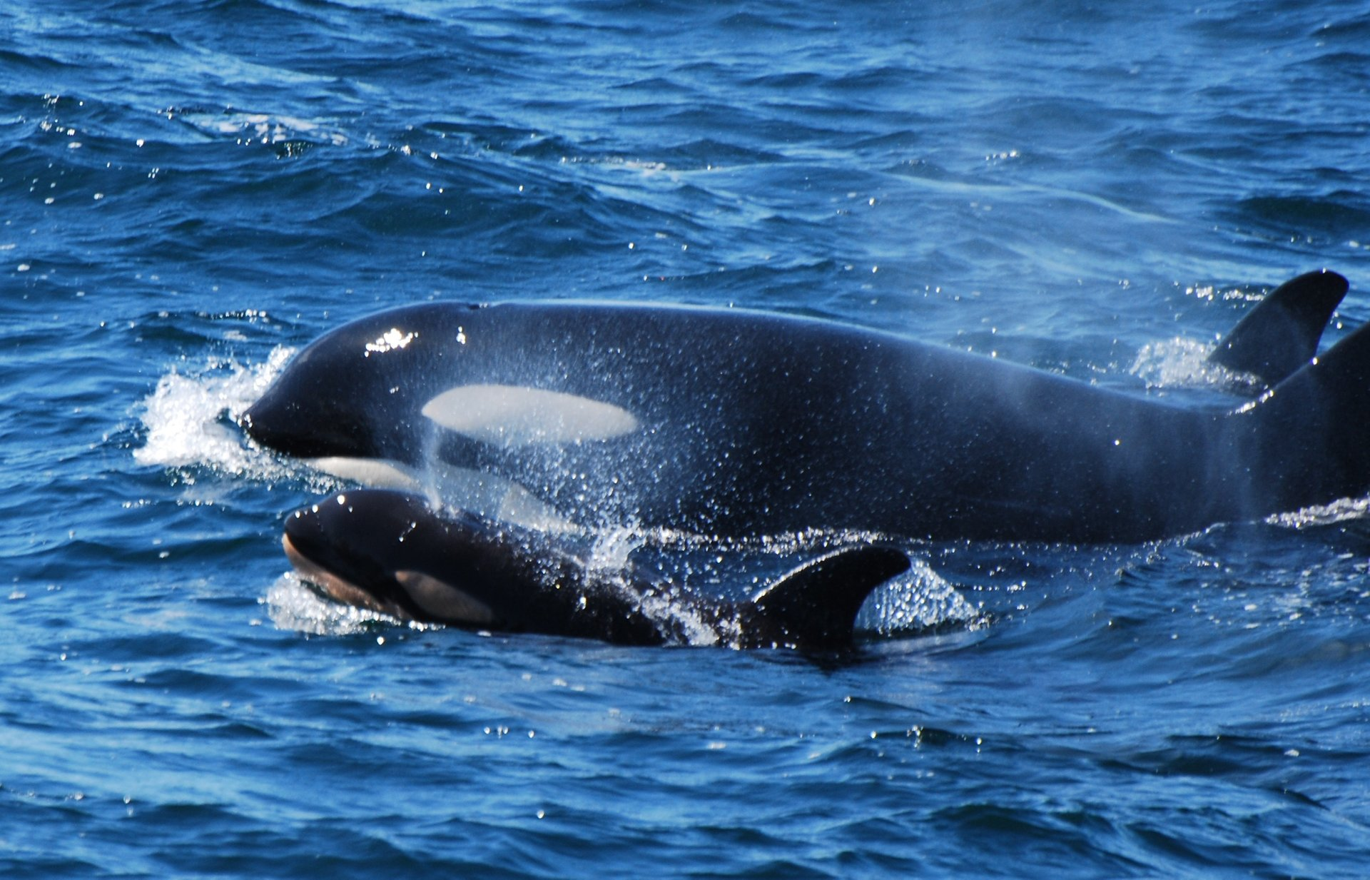 Orca whales near Anacortes 2019