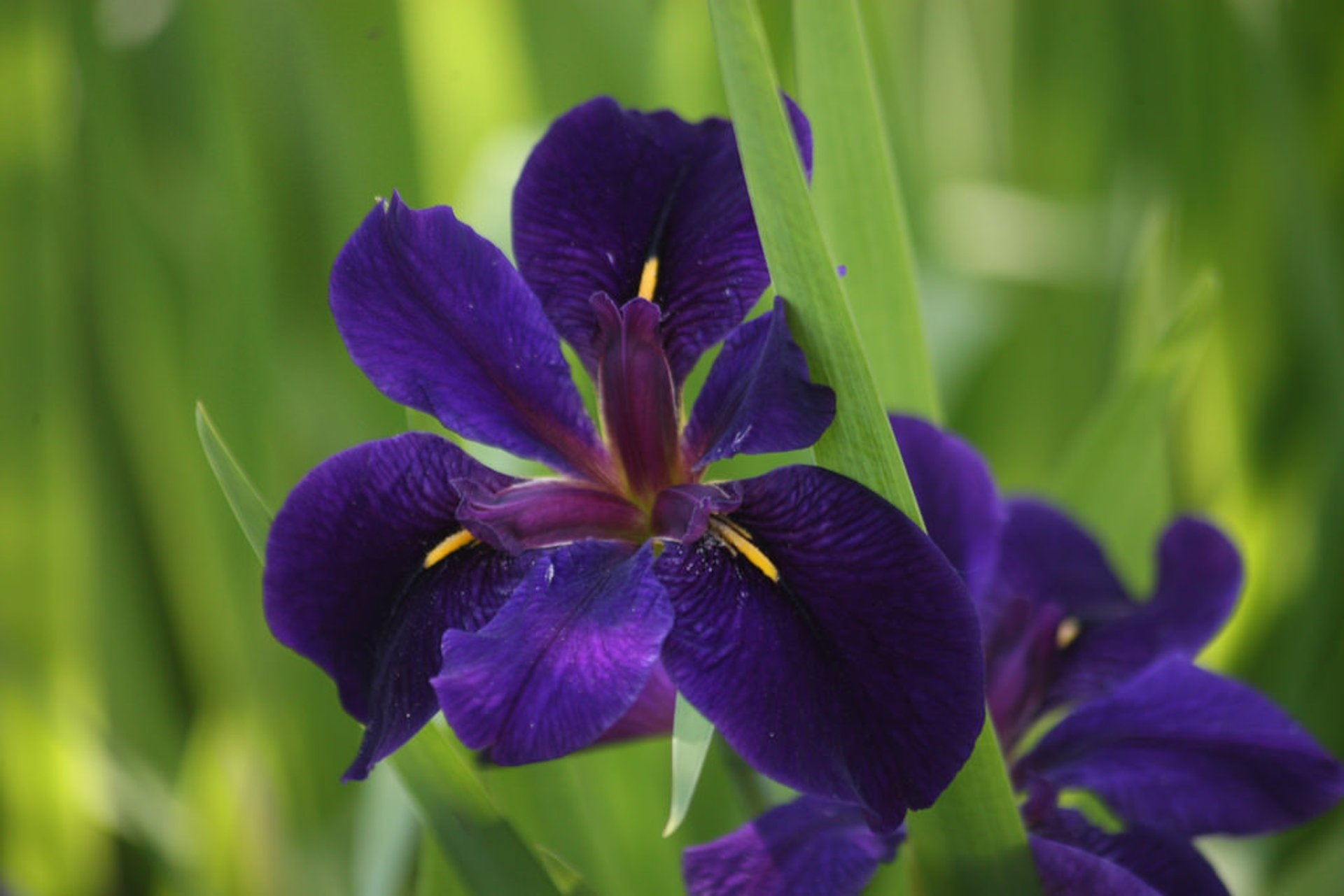 Louisiana Iris in New Orleans - Best Season 2020