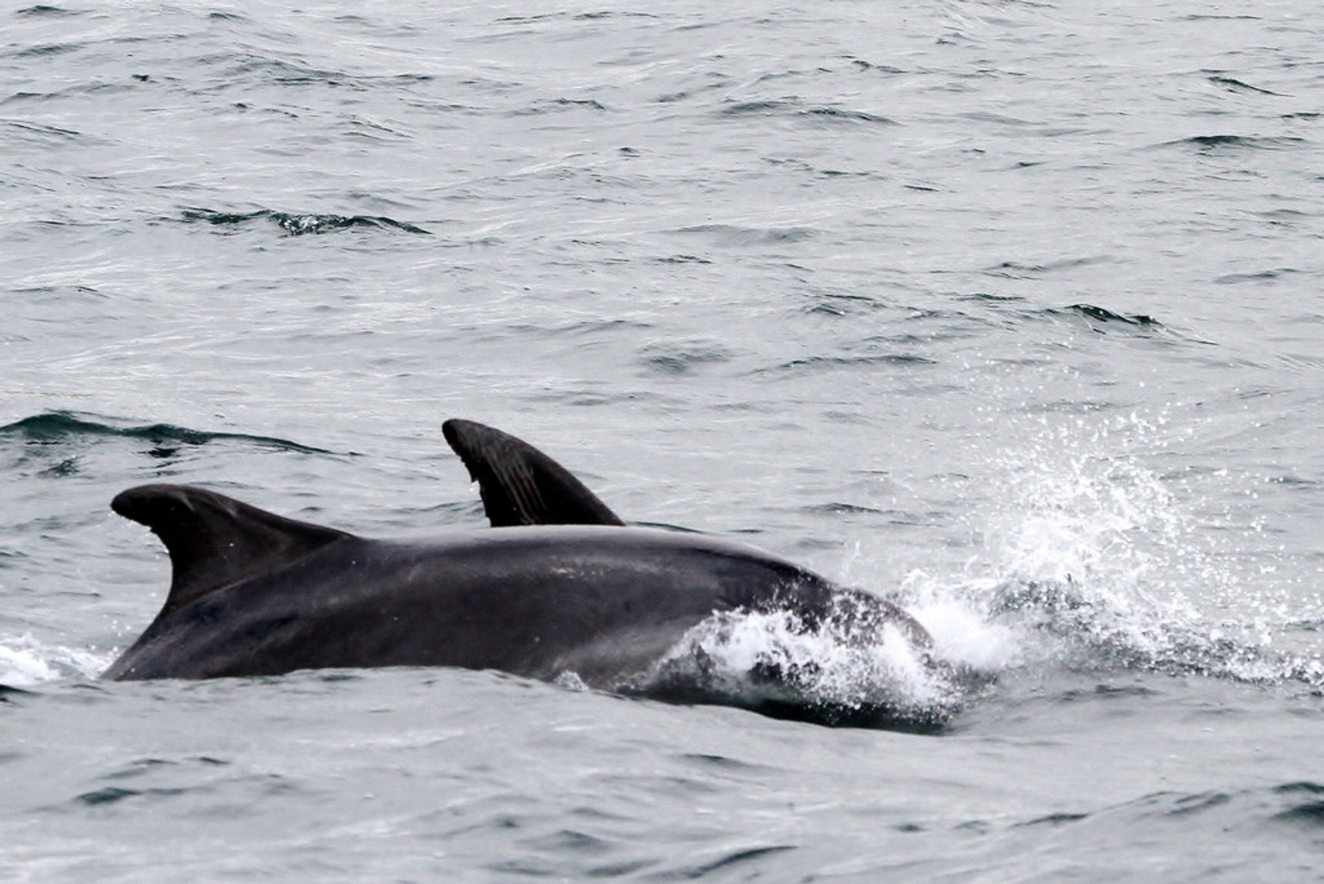 Atlantic Bottlenose Dolphins in Falmouth harbor 2020