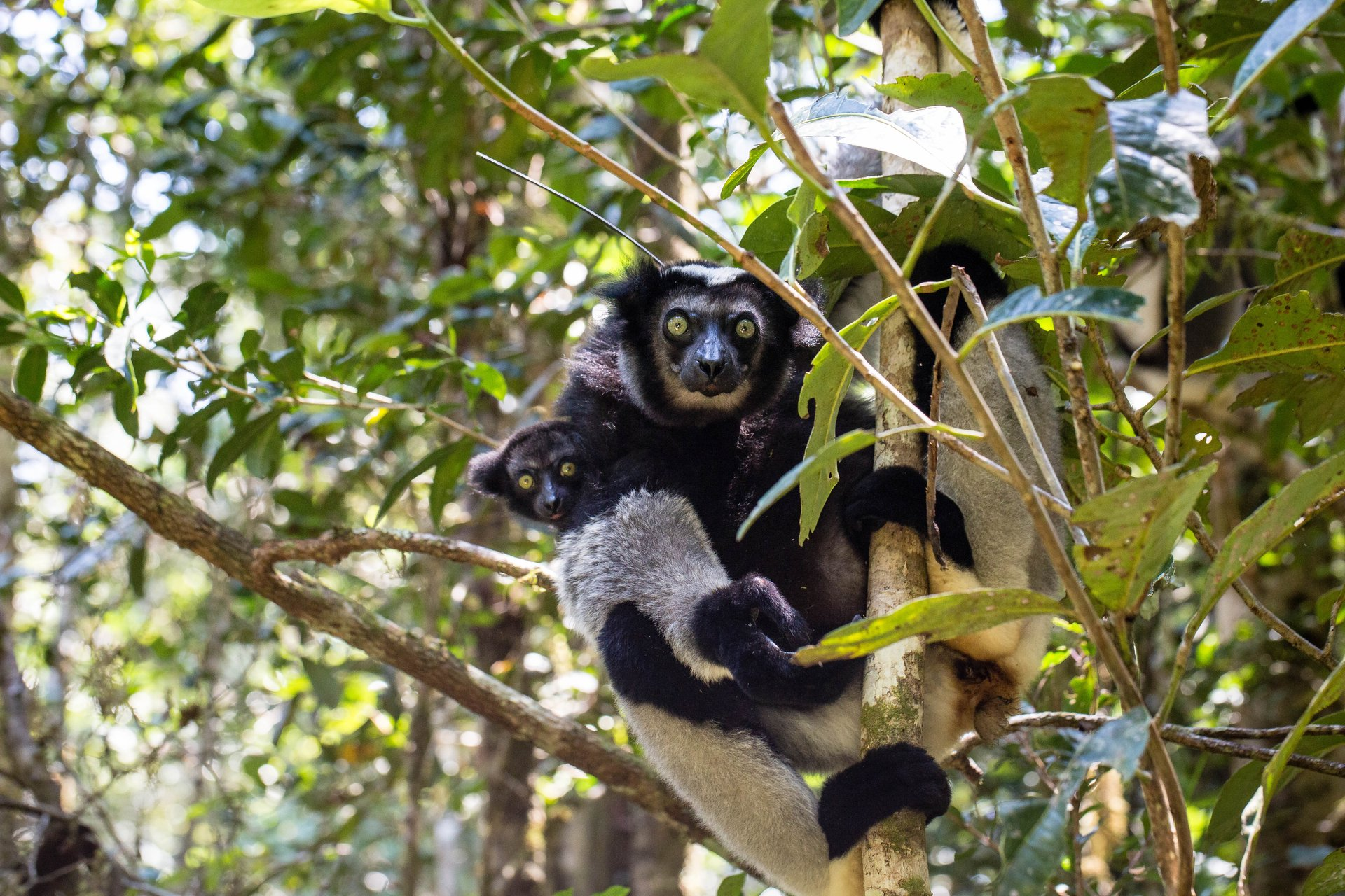 Indri Lemur in Madagascar - Best Season 2020