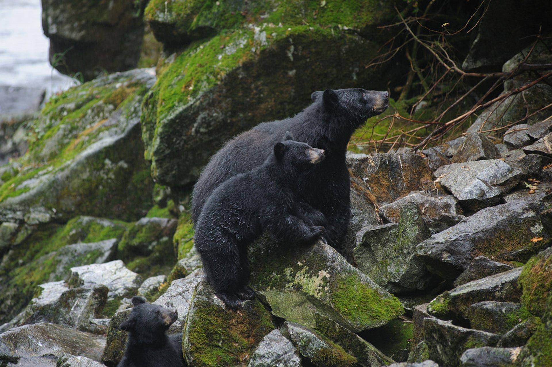 Black bears on rocks above Anan Creek 2020
