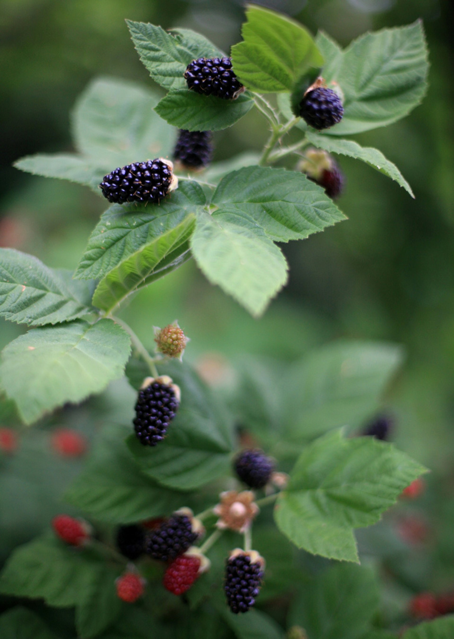 Blackberries in Norway - Best Season 2020