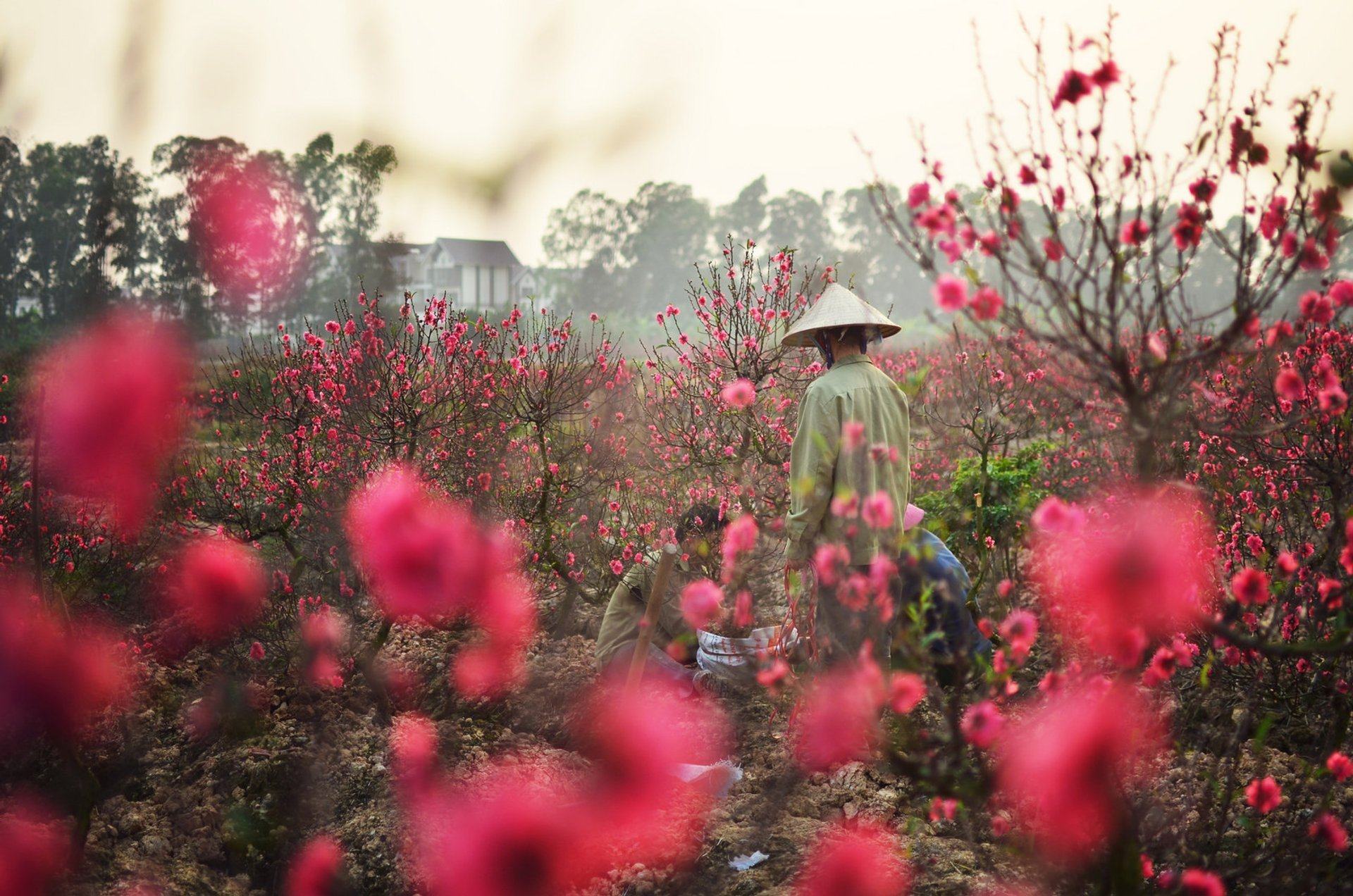 Peach Blossom Season in Vietnam 2020 - Best Time