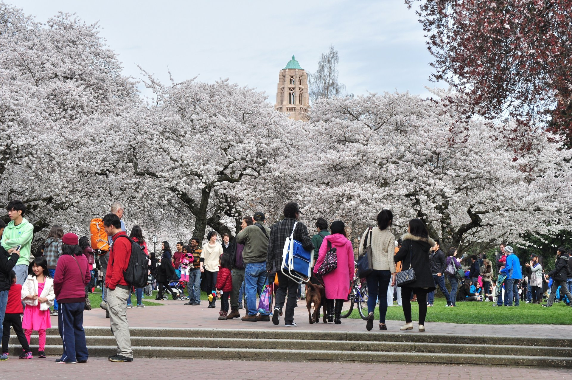 University of Washington (Seattle) during cherry blossom time 2020