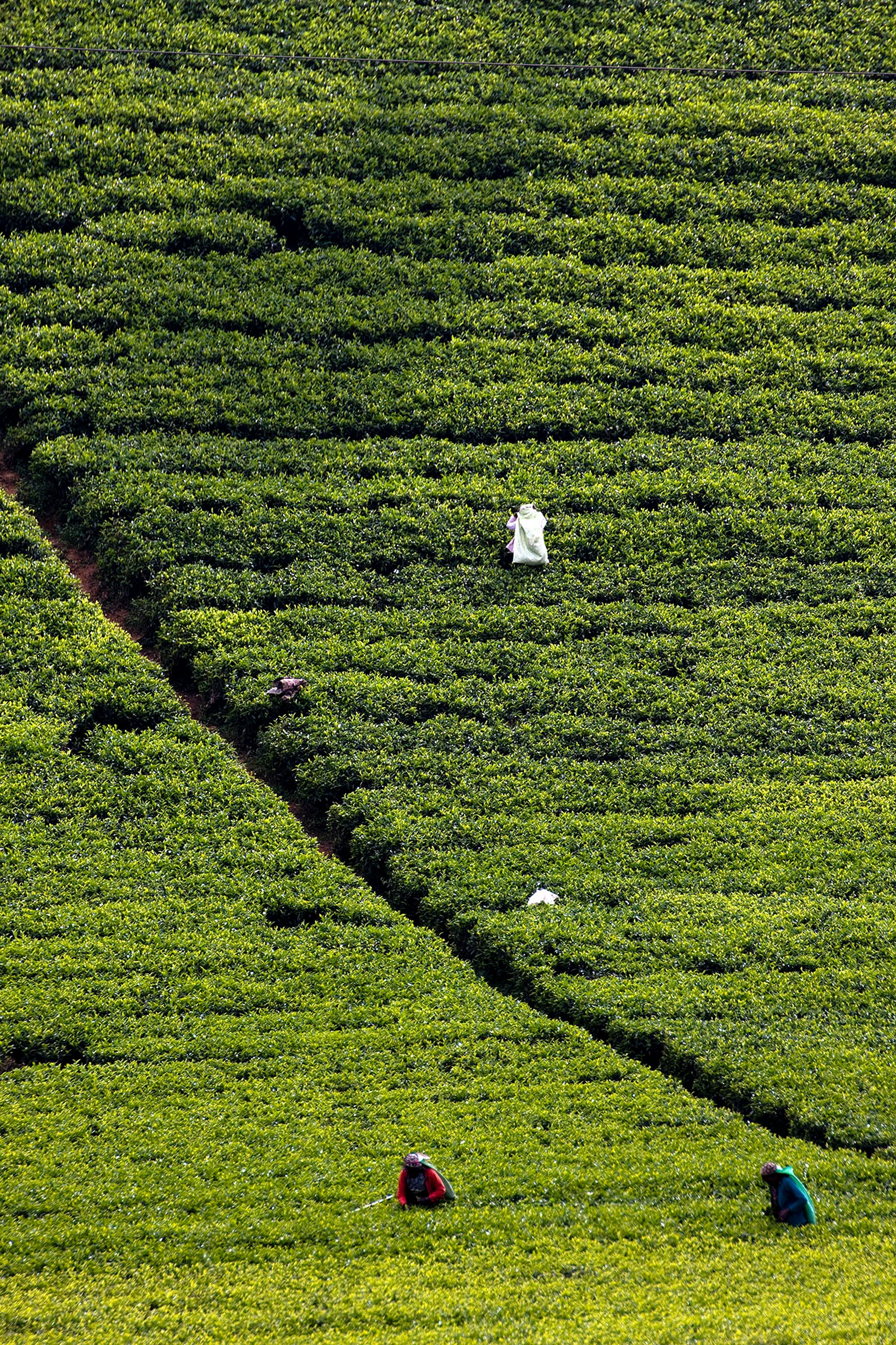 Tea Harvest in Sri Lanka - Best Season 2020