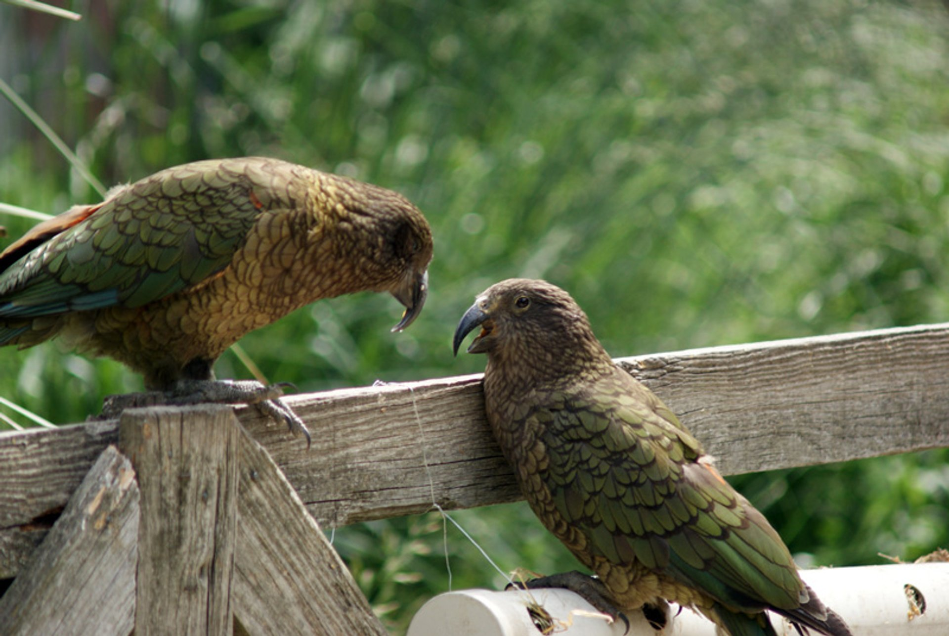 Best time to see Kea Bird in New Zealand 2020