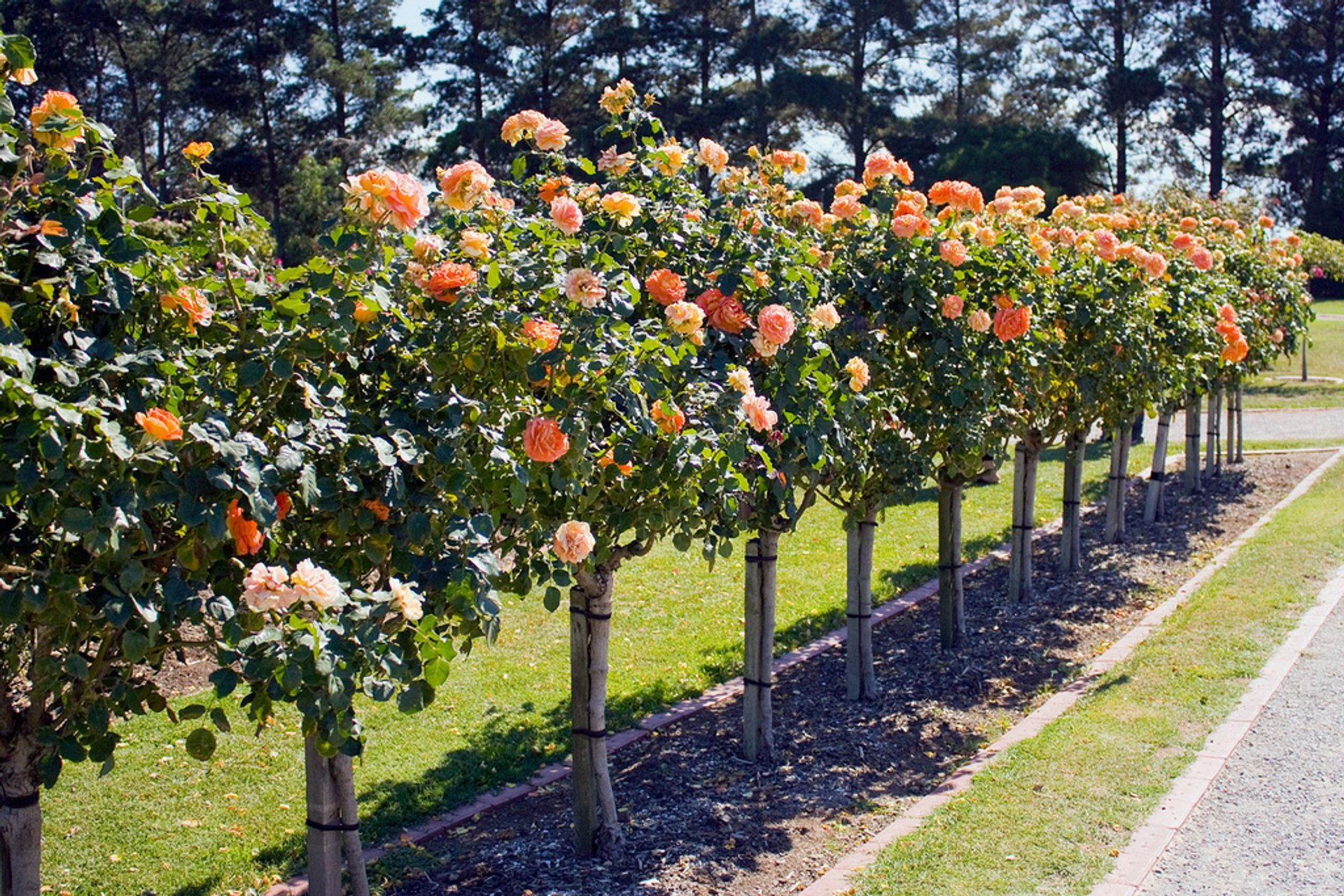 Rose Blooming in Victoria State Rose Garden in Victoria 2020 - Best Time