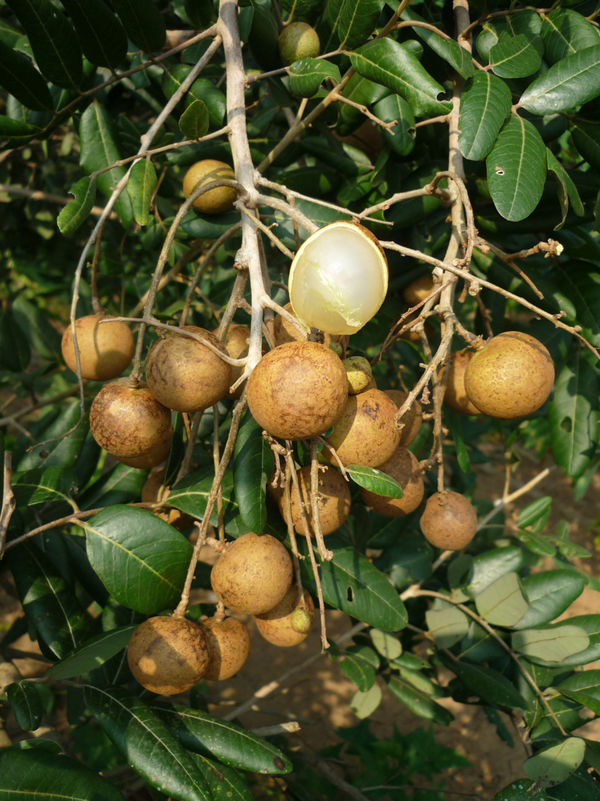 Longan Season in Thailand - Best Season 2020