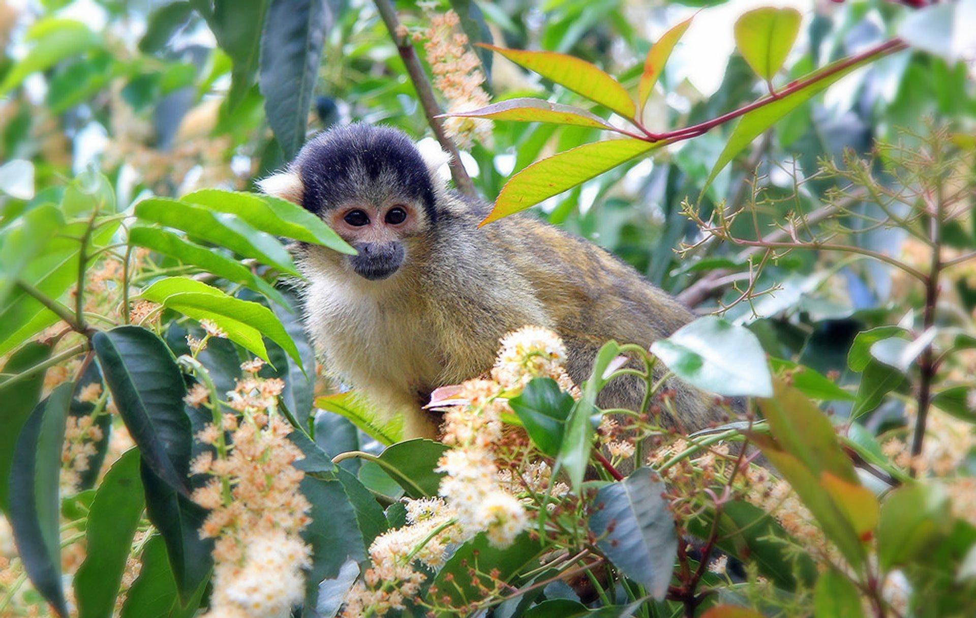 Squirrel Monkeys in Bolivia - Best Season 2020
