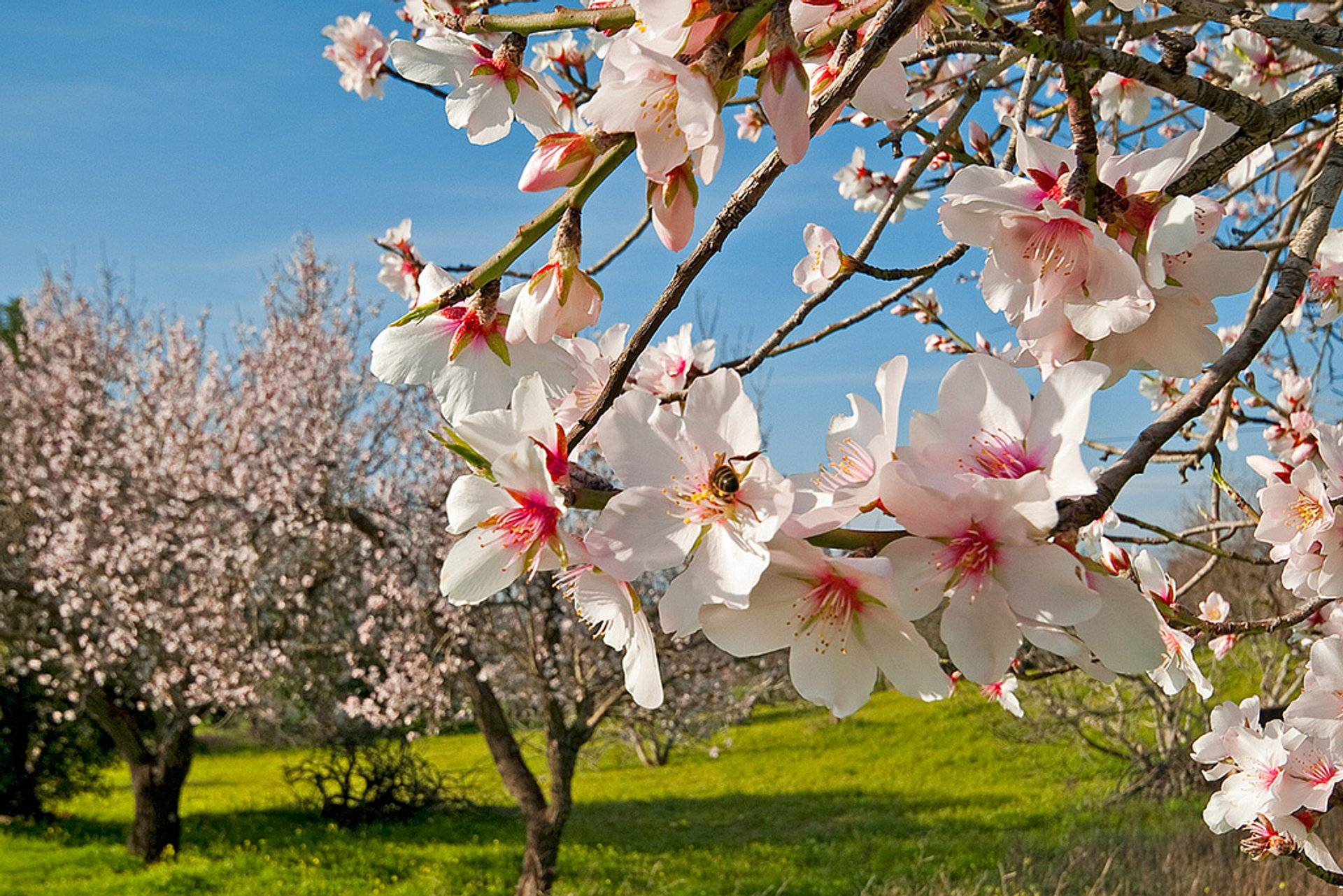 Almond Tree Blossom in Portugal - Best Season 2020