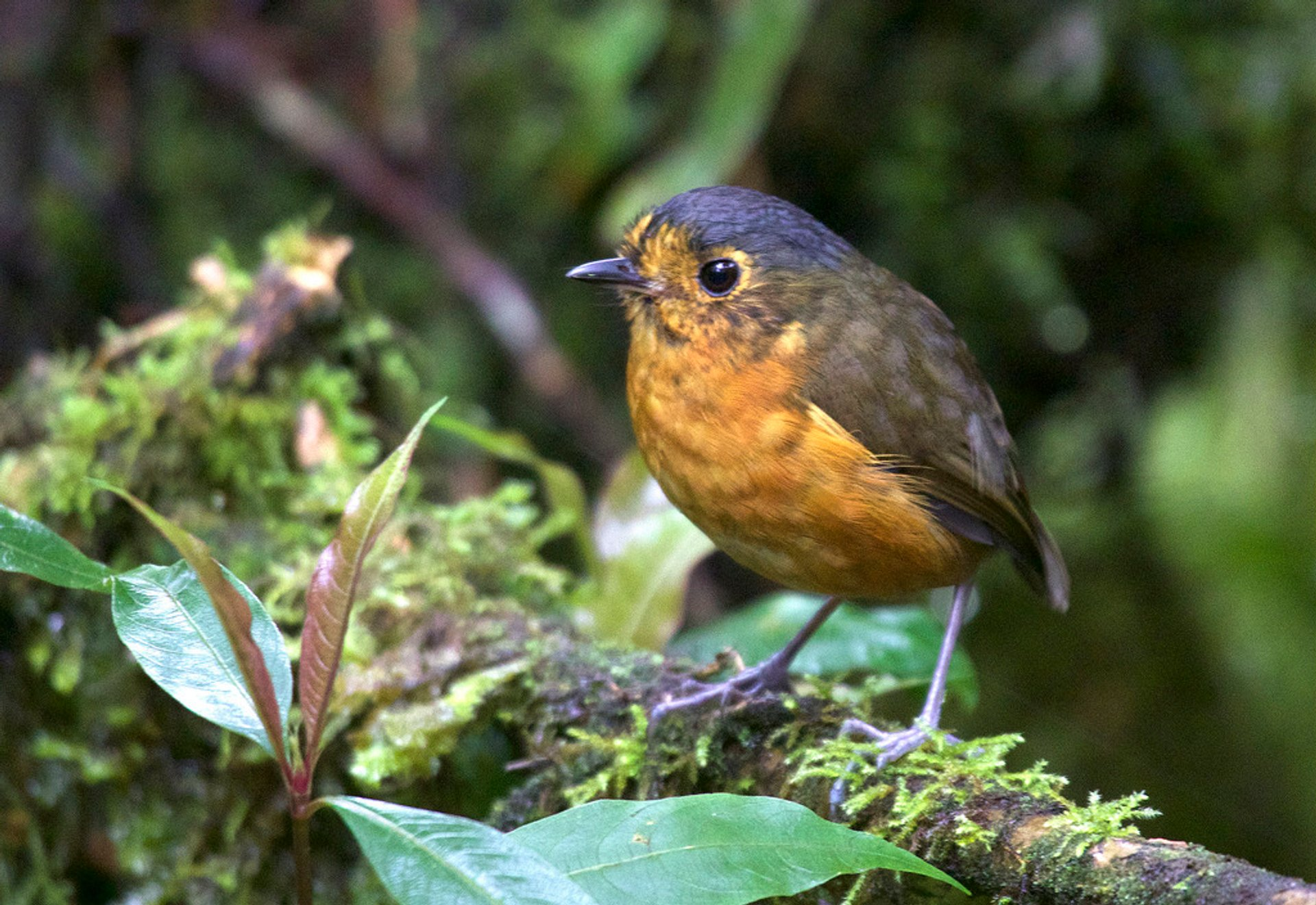Slate-crowned Antpitta spotted in Manizales, Caldas, Colombia 2020