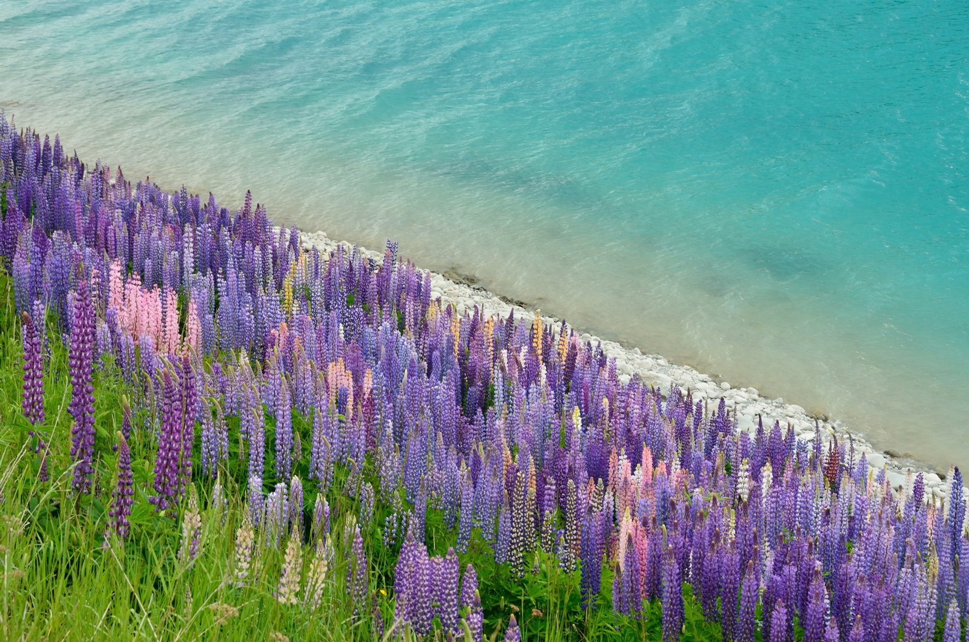 Lupin invasion at Lake Tekapo 2019