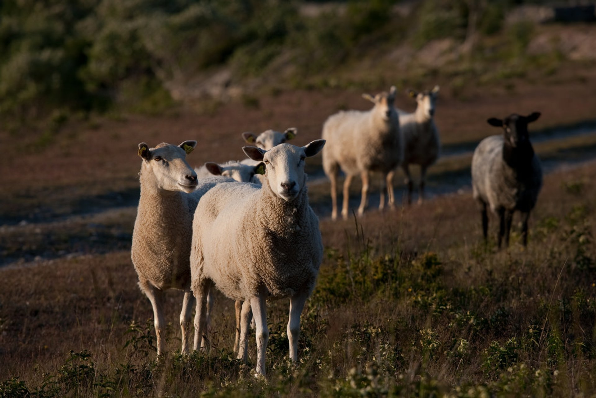 Best time for Gotland Pelt Sheep in Sweden 2020