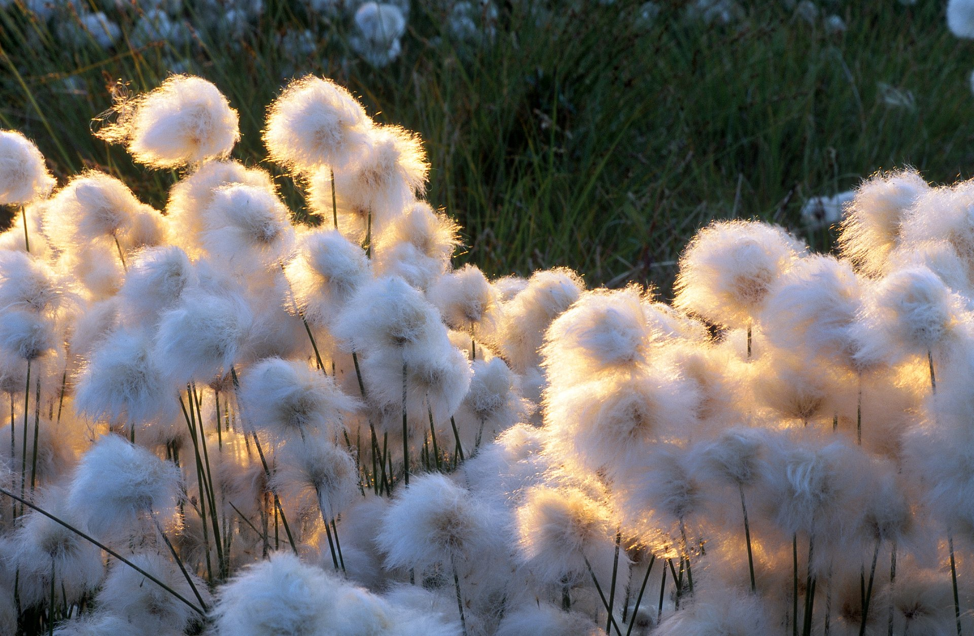 Cottongrass. Summer flowers in Lapland