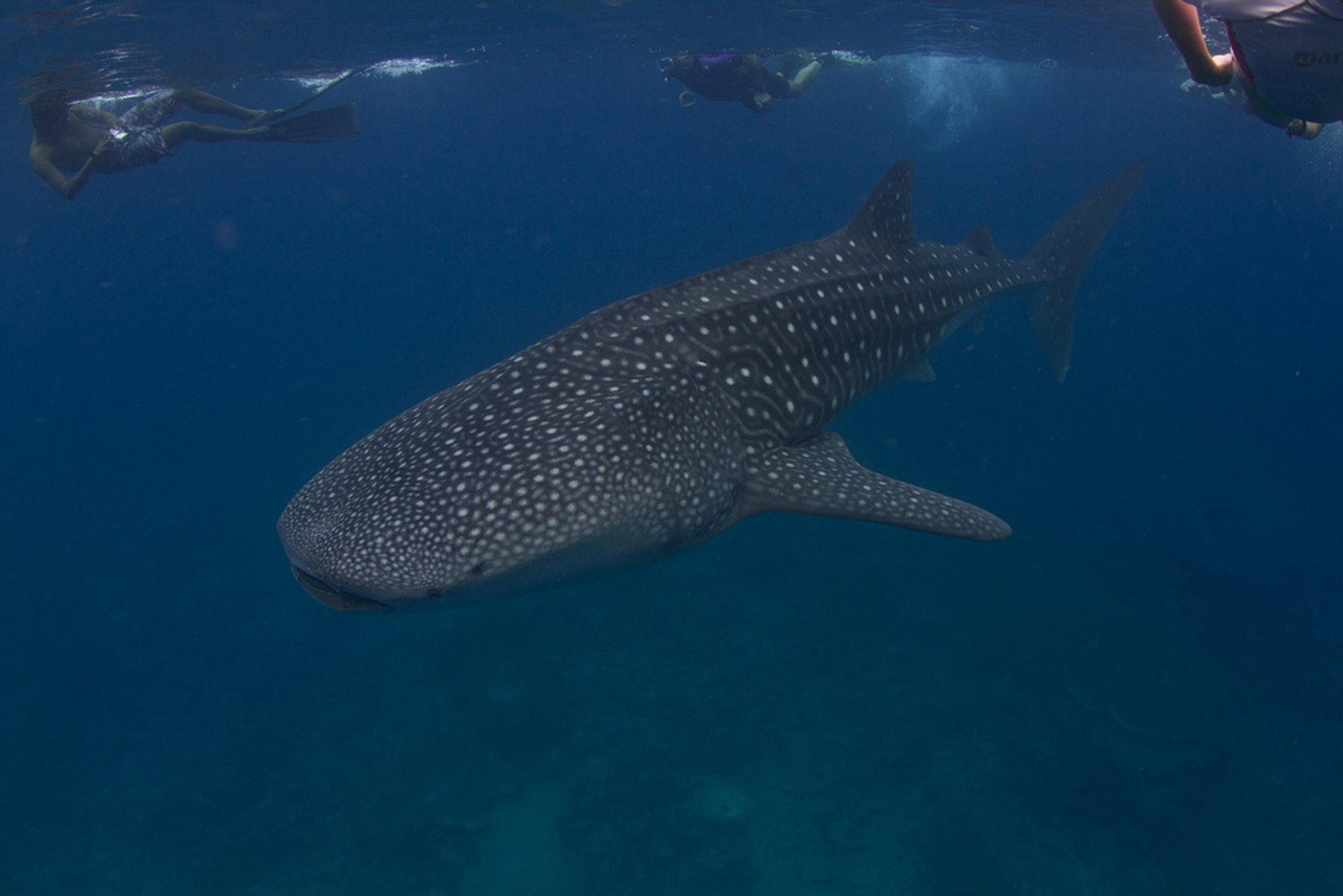 Whale Sharks in Maldives - Best Season 2019