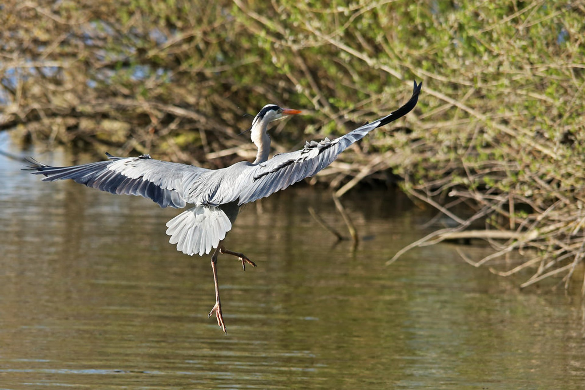 Grey heron approaching land, Greifensee District, Switzerland 2020