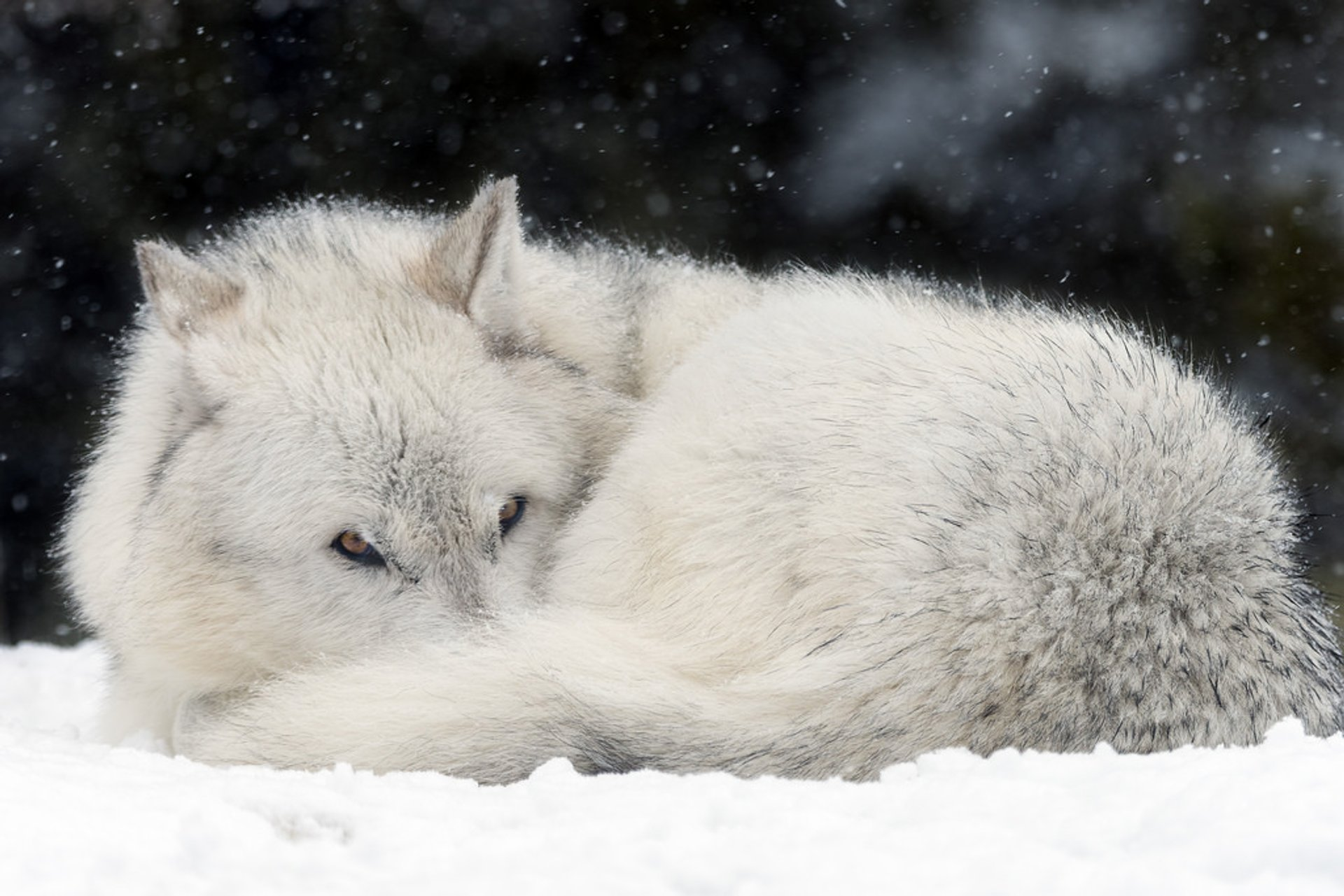 Wolves in Yellowstone National Park - Best Time