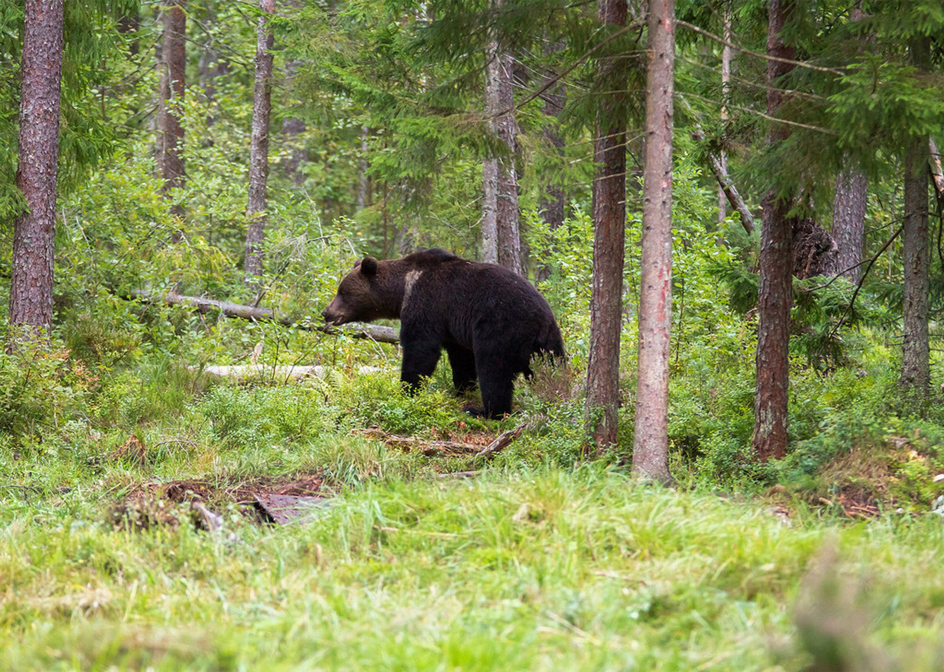 Brown Bear Watching in Estonia - Best Season 2020