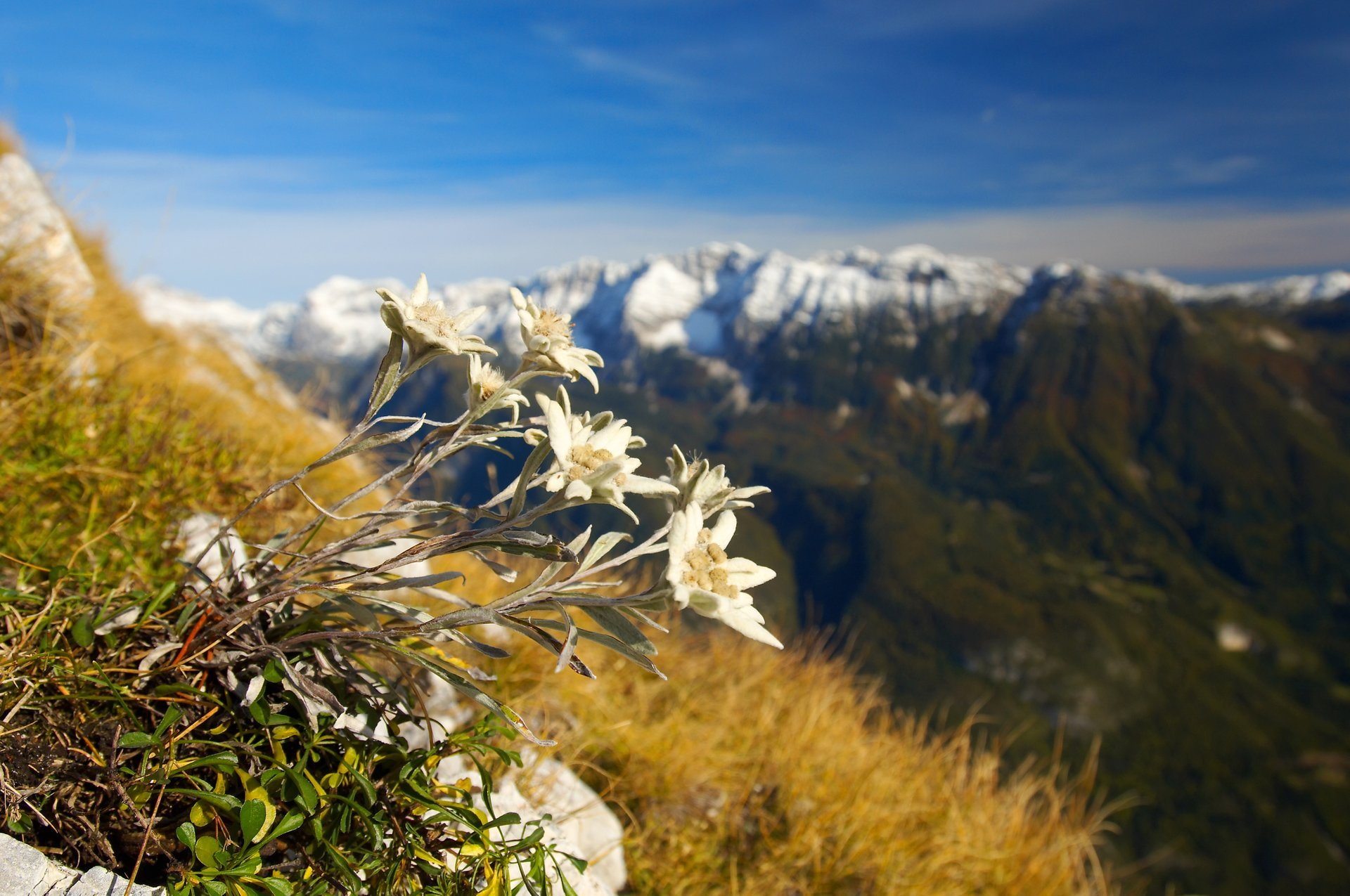 Edelweiss on the southern slopes of Bavški Grintovec above the Soča Valley 2020