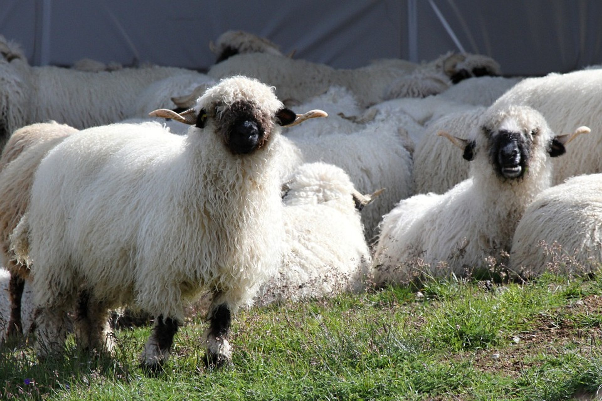 Valais Blacknose Sheep in Switzerland - Best Season 2020