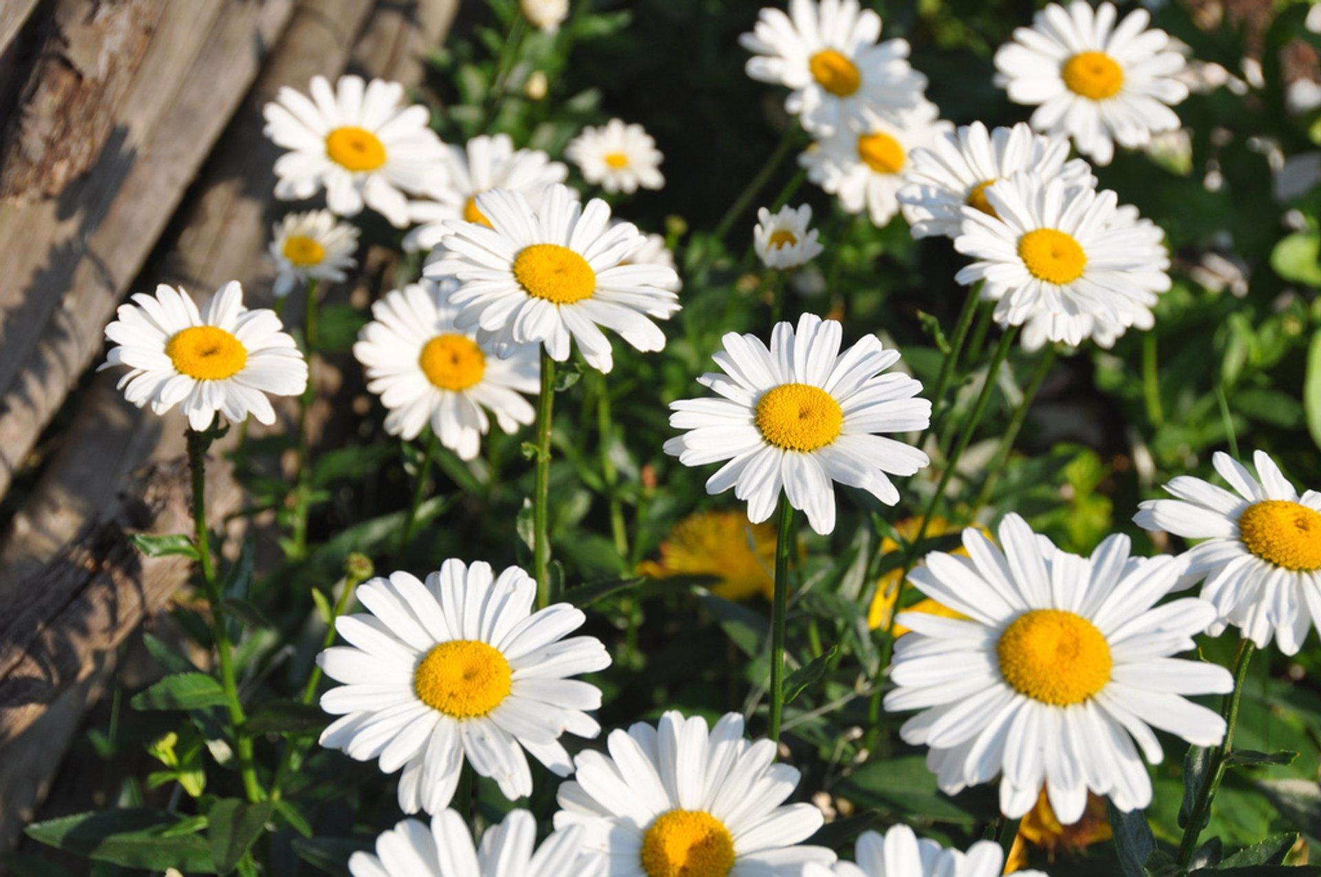 Blooming Fields in Denmark - Best Season 2019