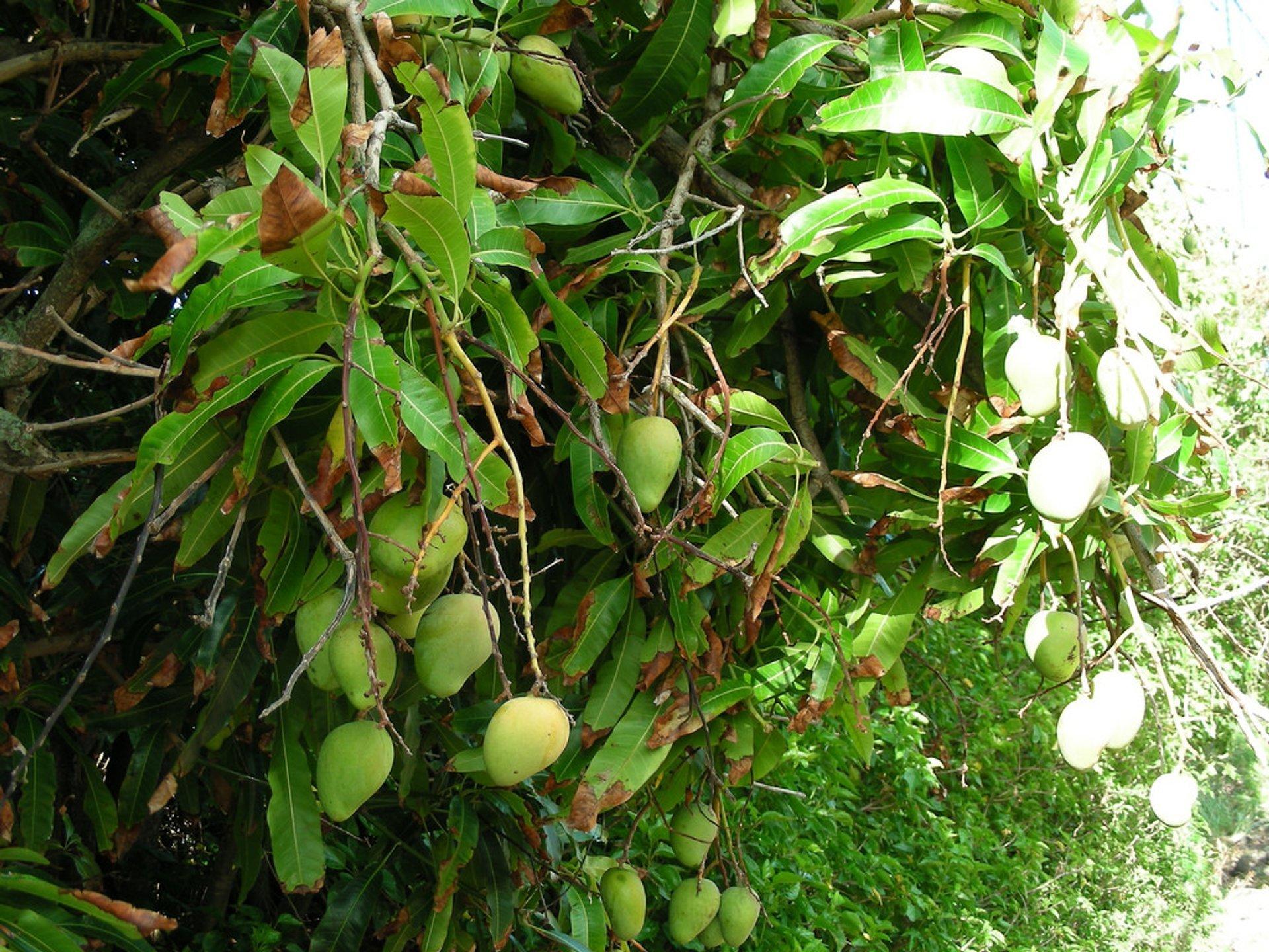 Mango in Hawaii - Best Season 2020