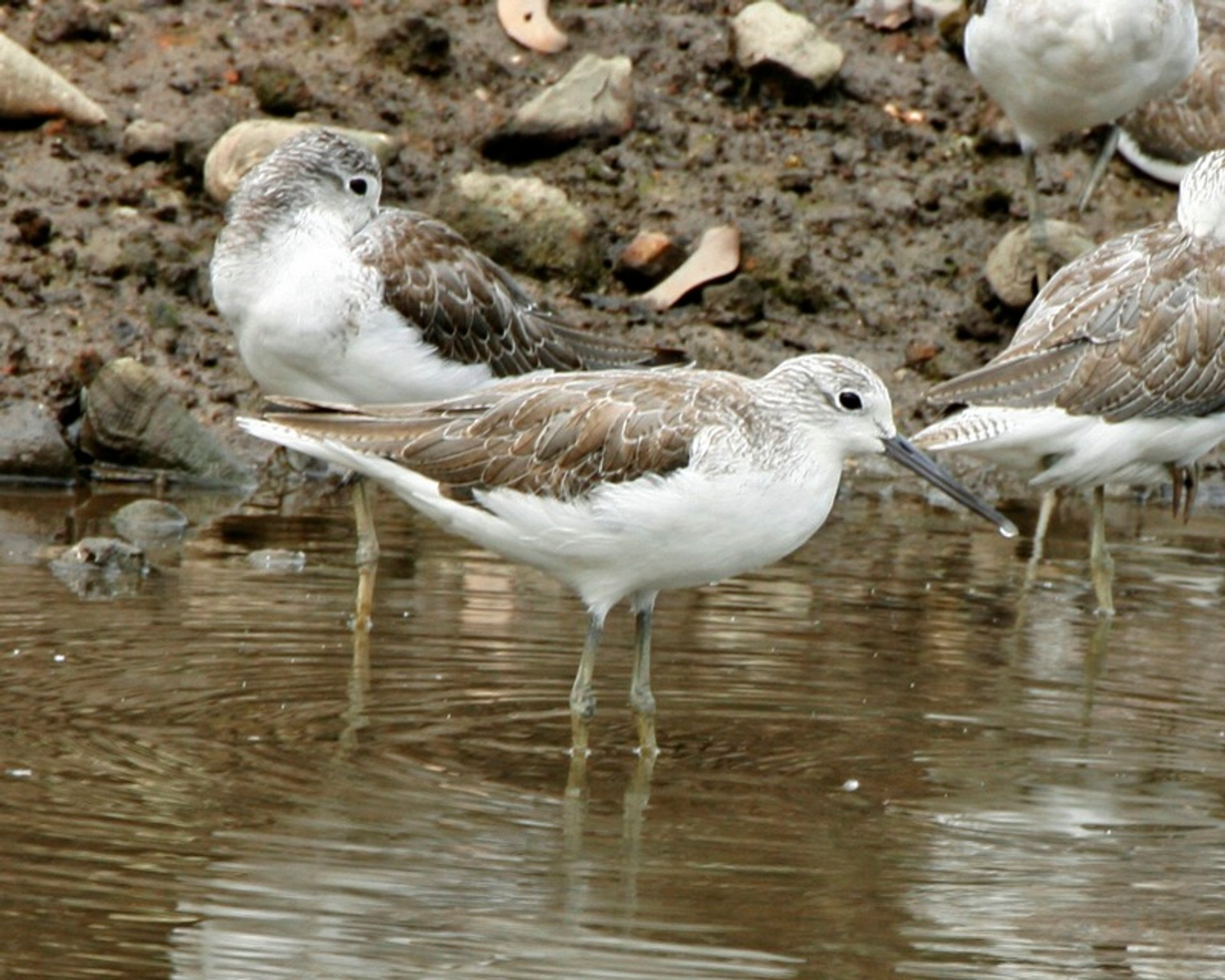 Common Greenshank in Sungei Buloh Wetland Reserve 2020