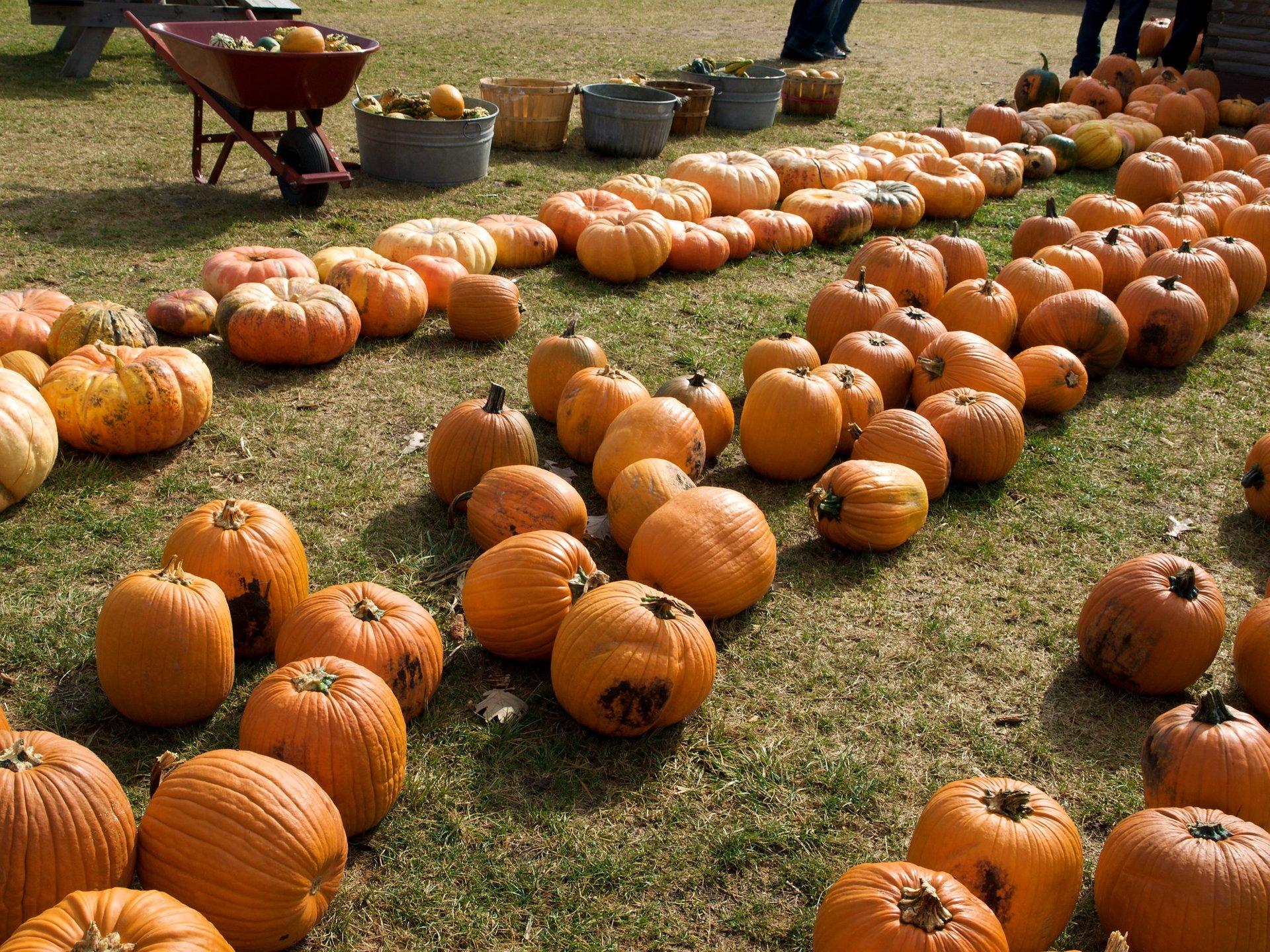 Pumpkin patch at Richardson Adventure Farm 2020