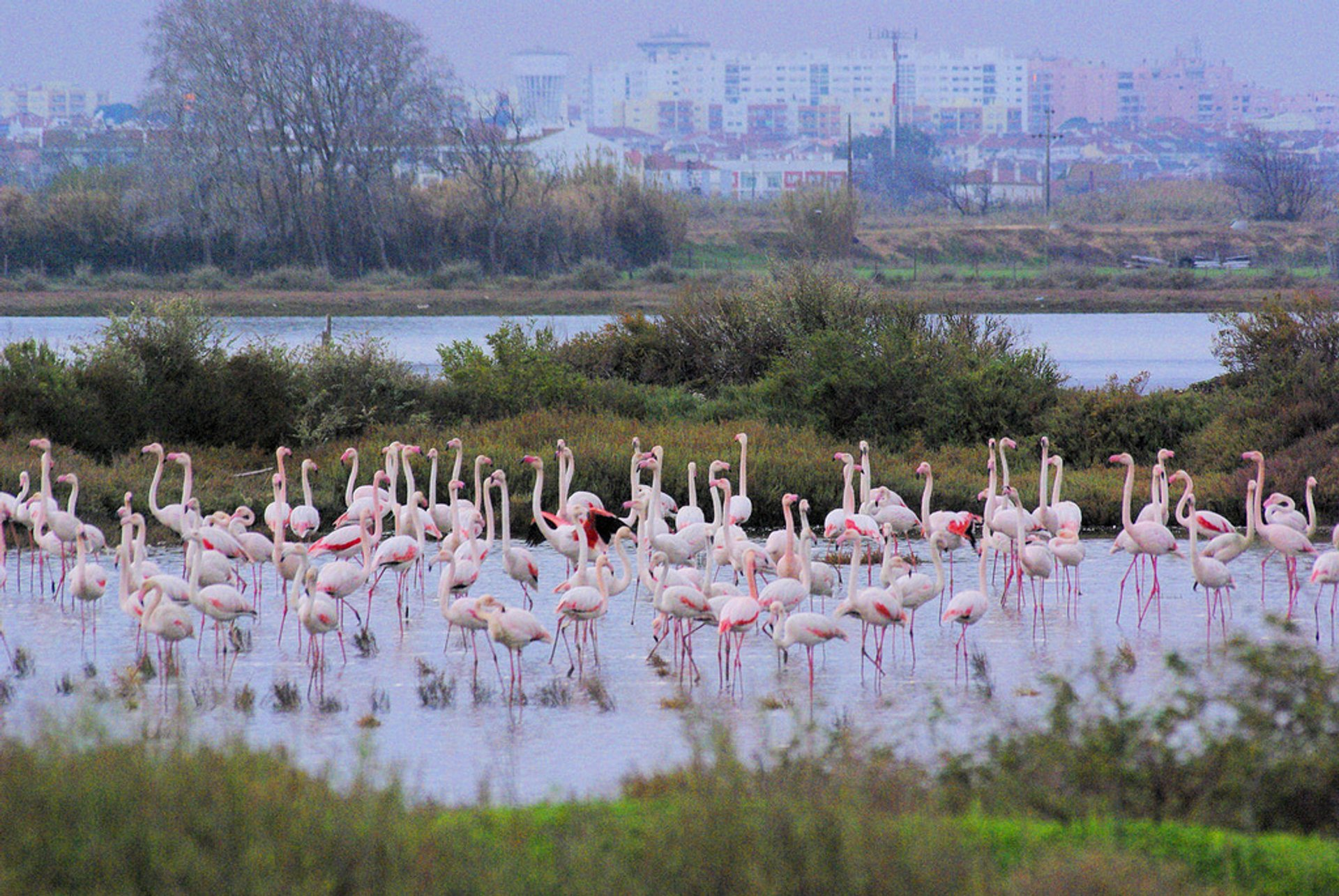 Flamingos in the Tagus Estuary Natural Reserve in Lisbon - Best Season 2019