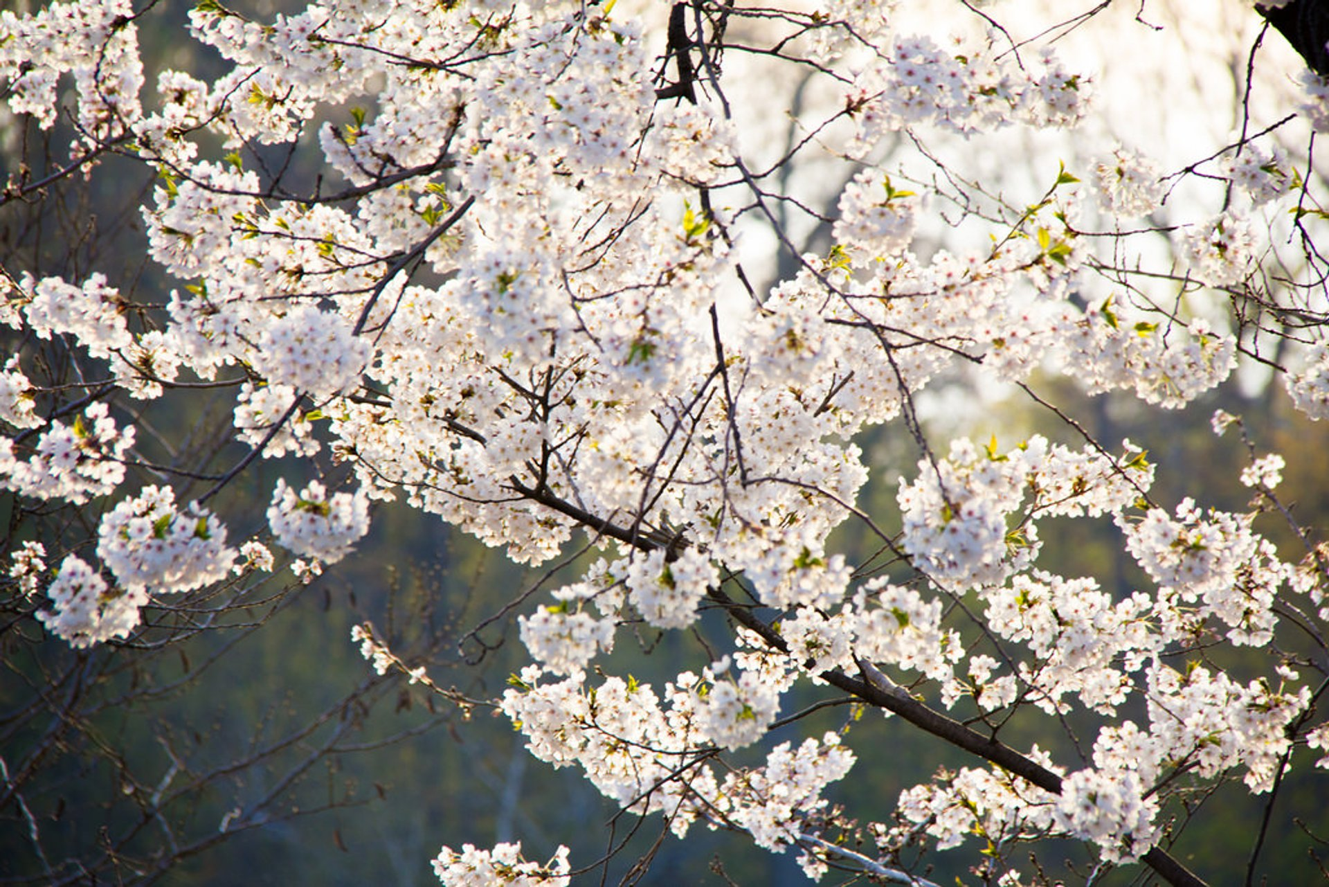 Best time for Cherry Blossom in Toronto 2019