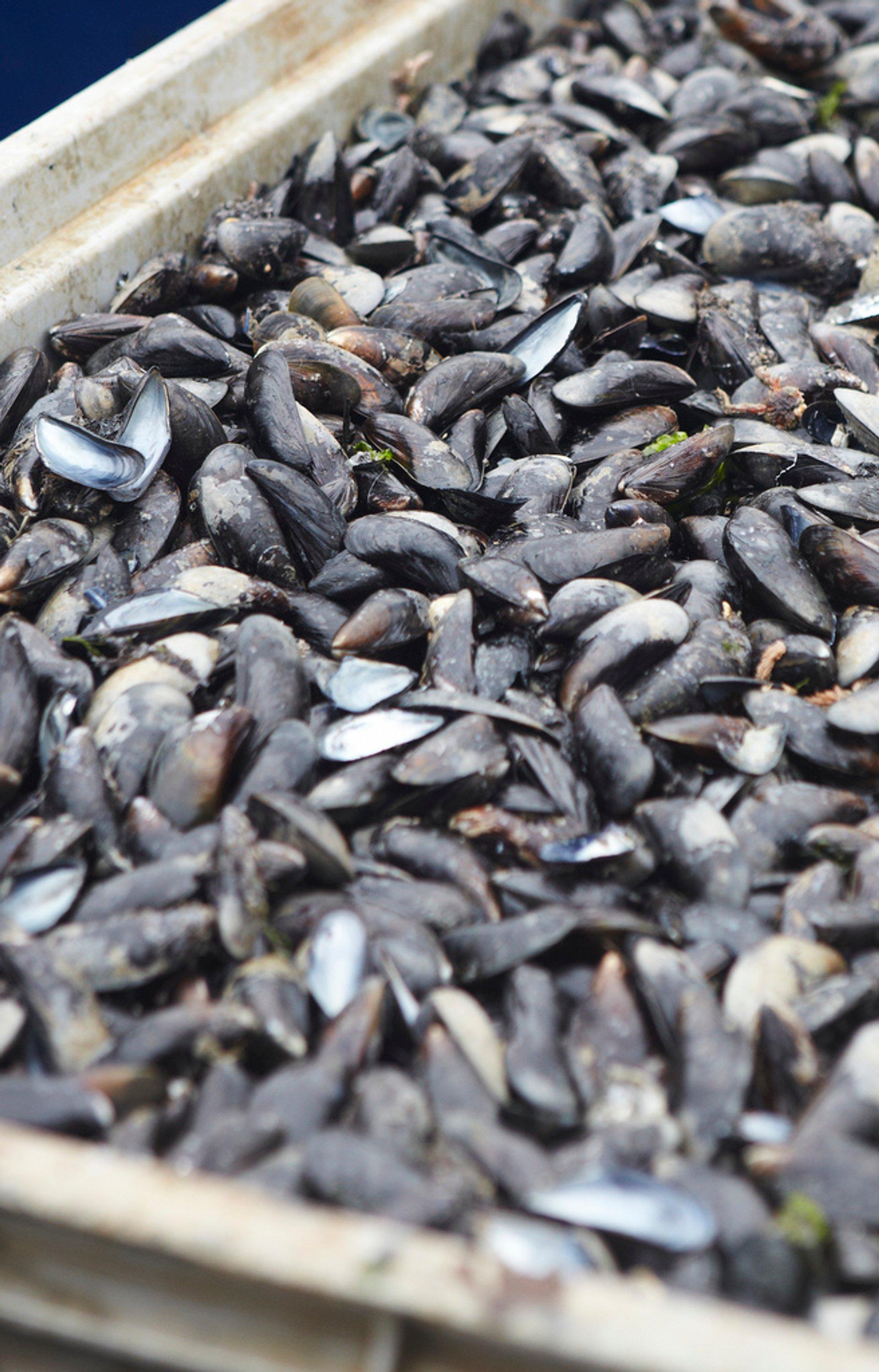 Zeeland Mussels in The Netherlands - Best Season