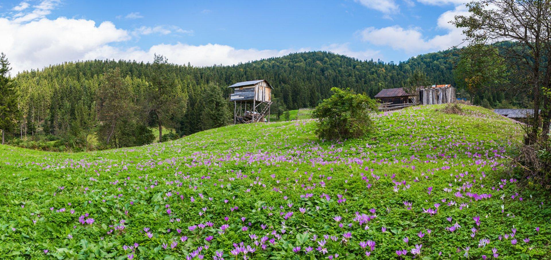 Wildflower field in Kalınçam, Tonya, Trabzon, Turkey 2020