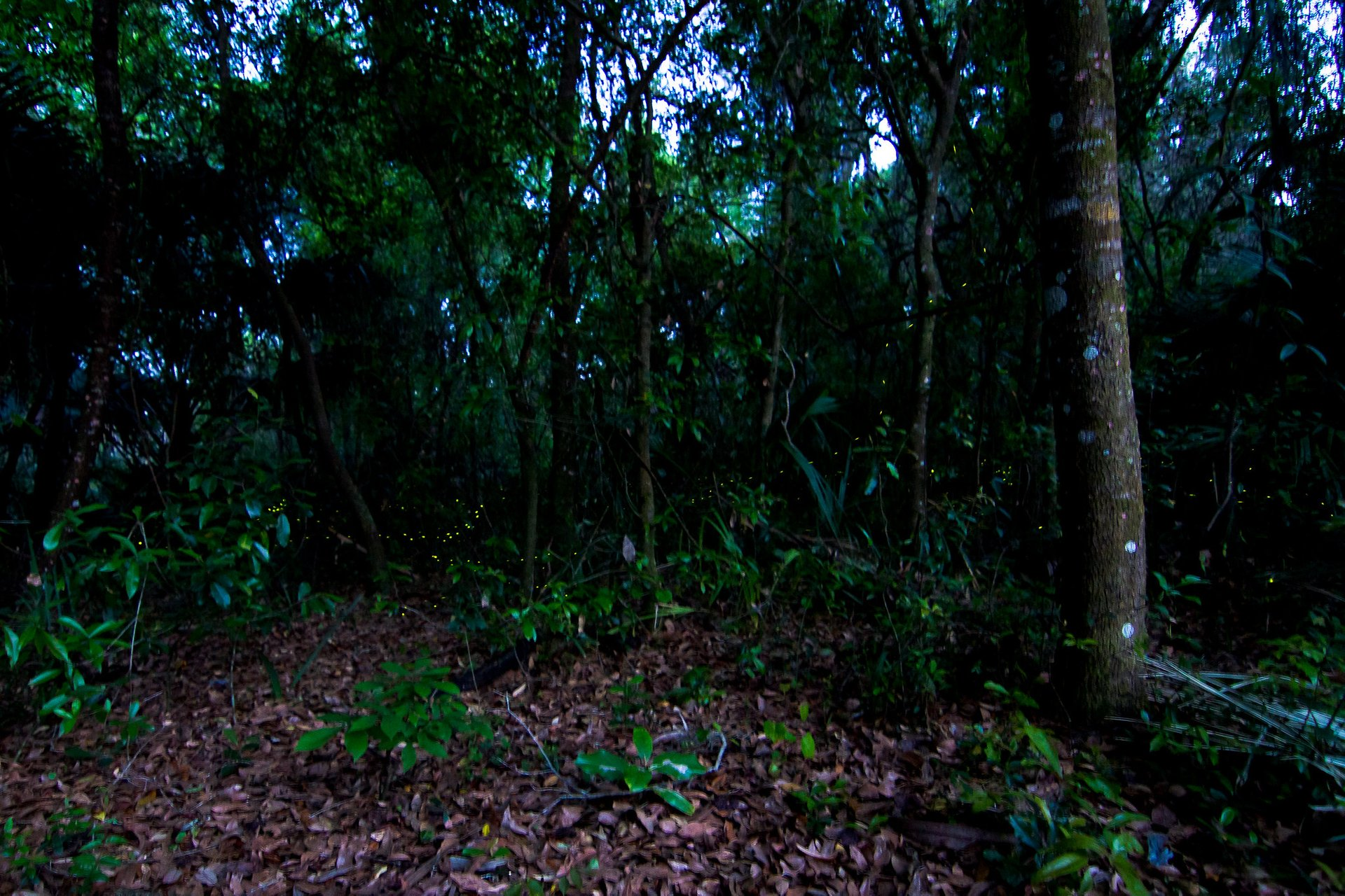 Fireflies at Blue Spring State Park in Florida 2020 - Best Time