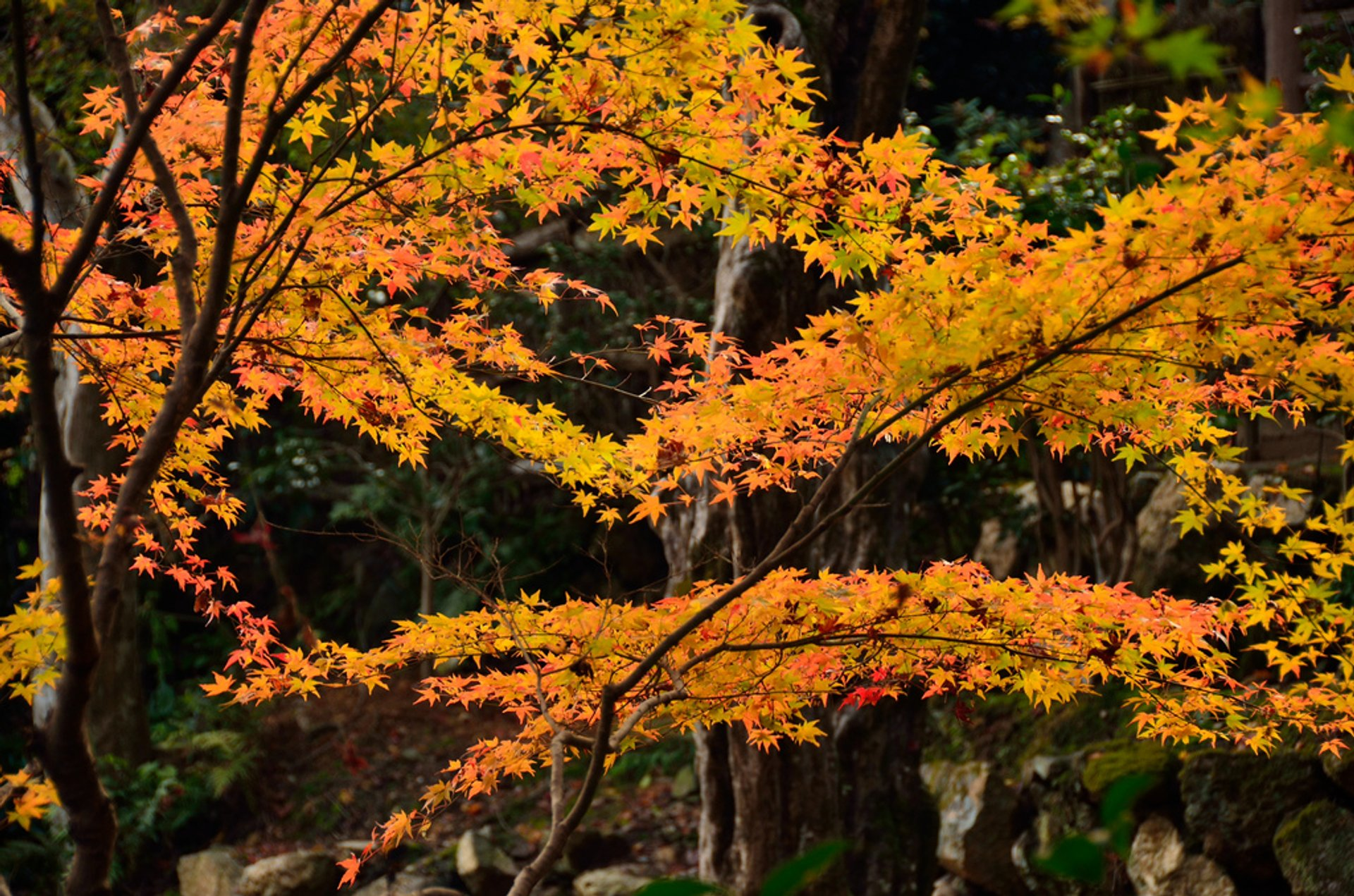 Autumn Foliage (Kōyō) in Kyoto - Best Season 2020