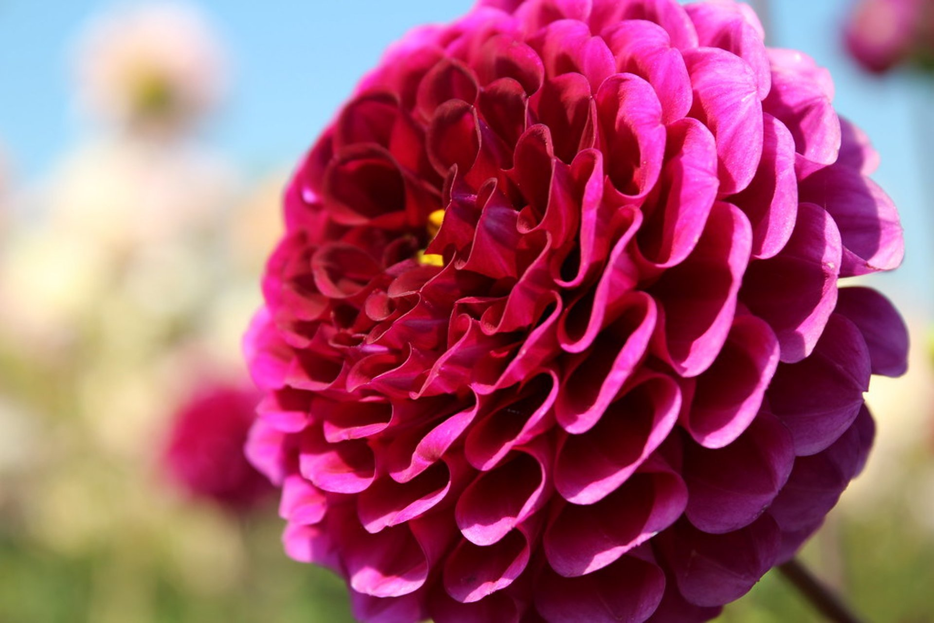 Best time for Dahlia Festival 2020