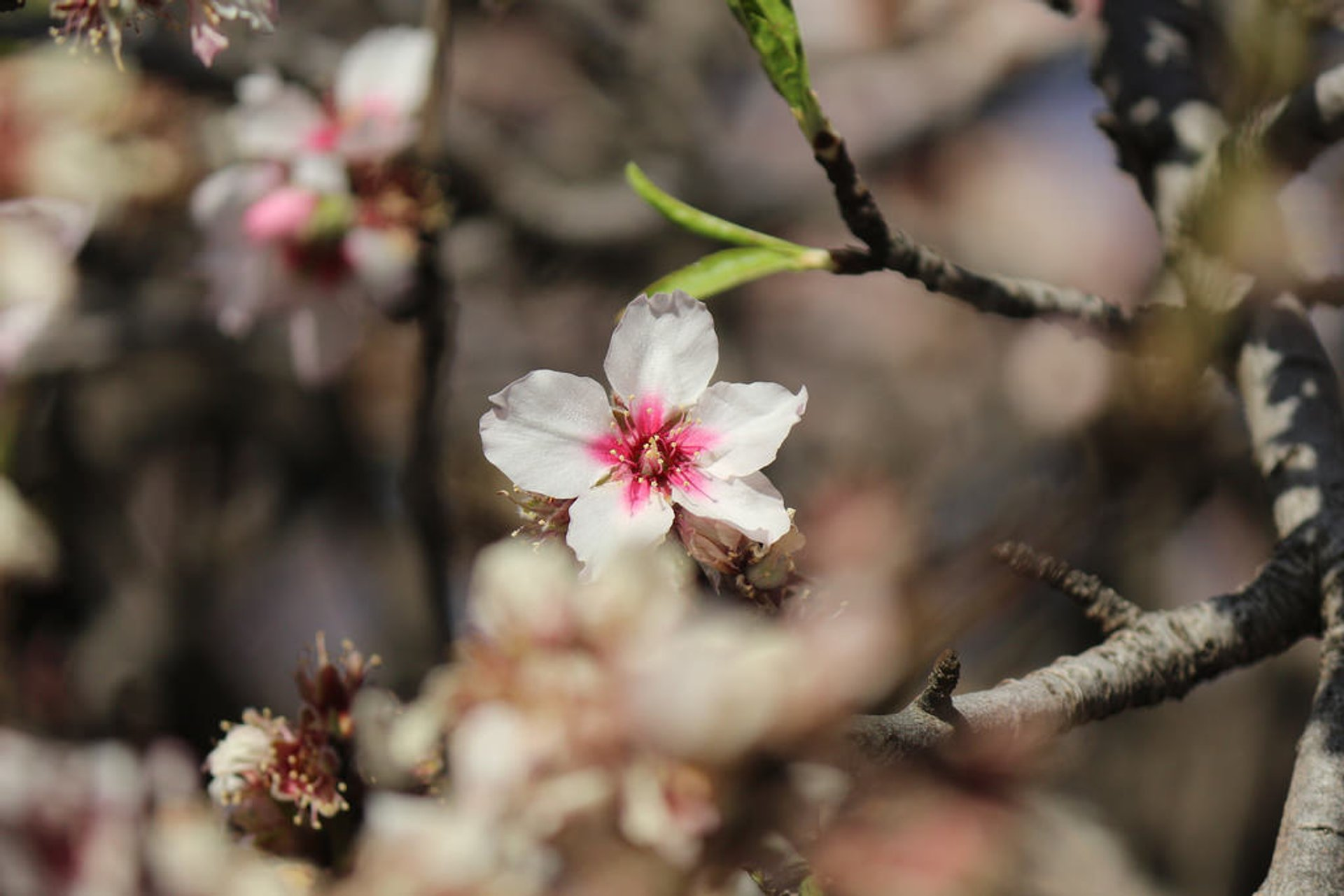 Best time for Almond Trees in Bloom in Canary Islands
