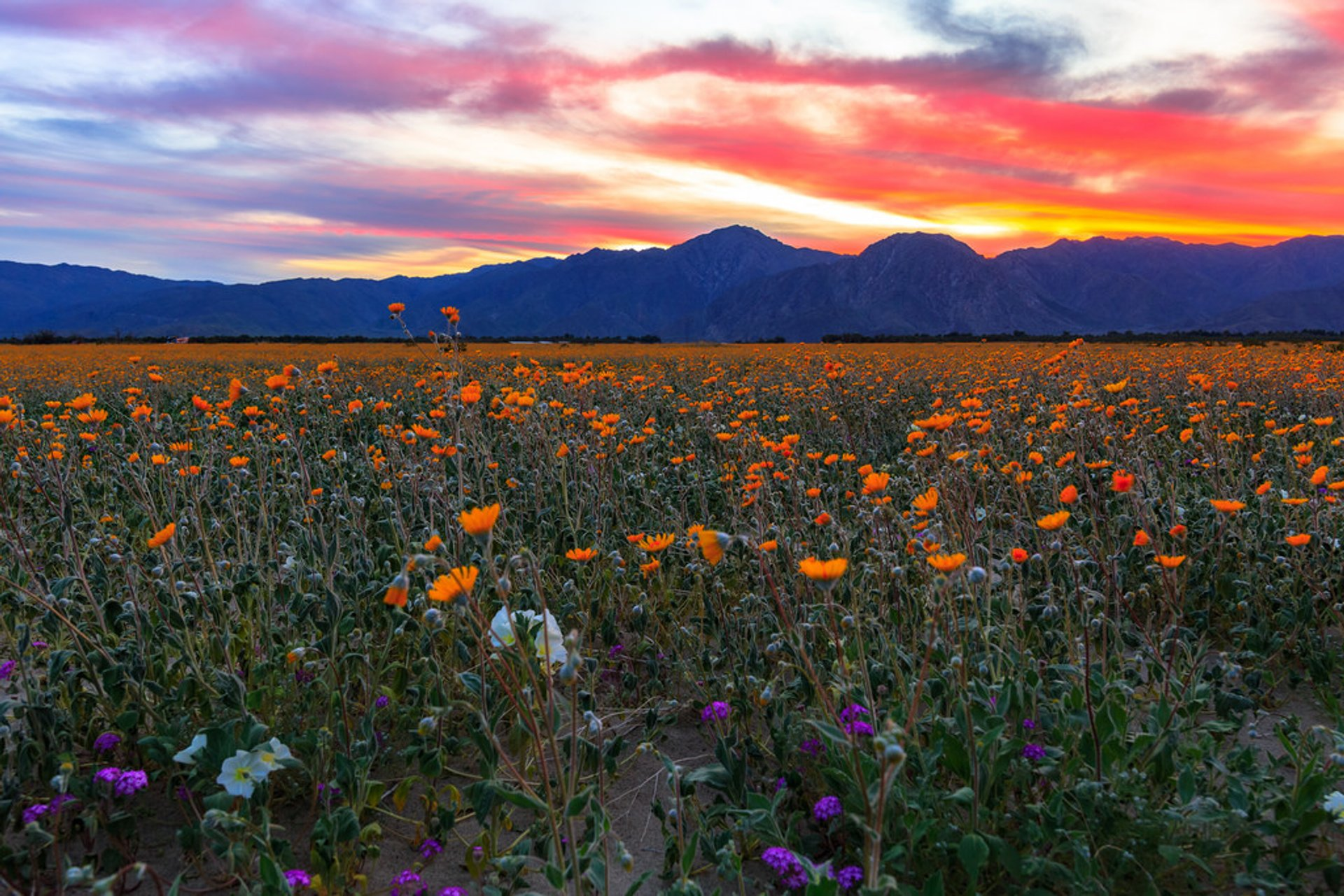 Best Time To See Anza Borrego Desert Super Bloom In California 2019