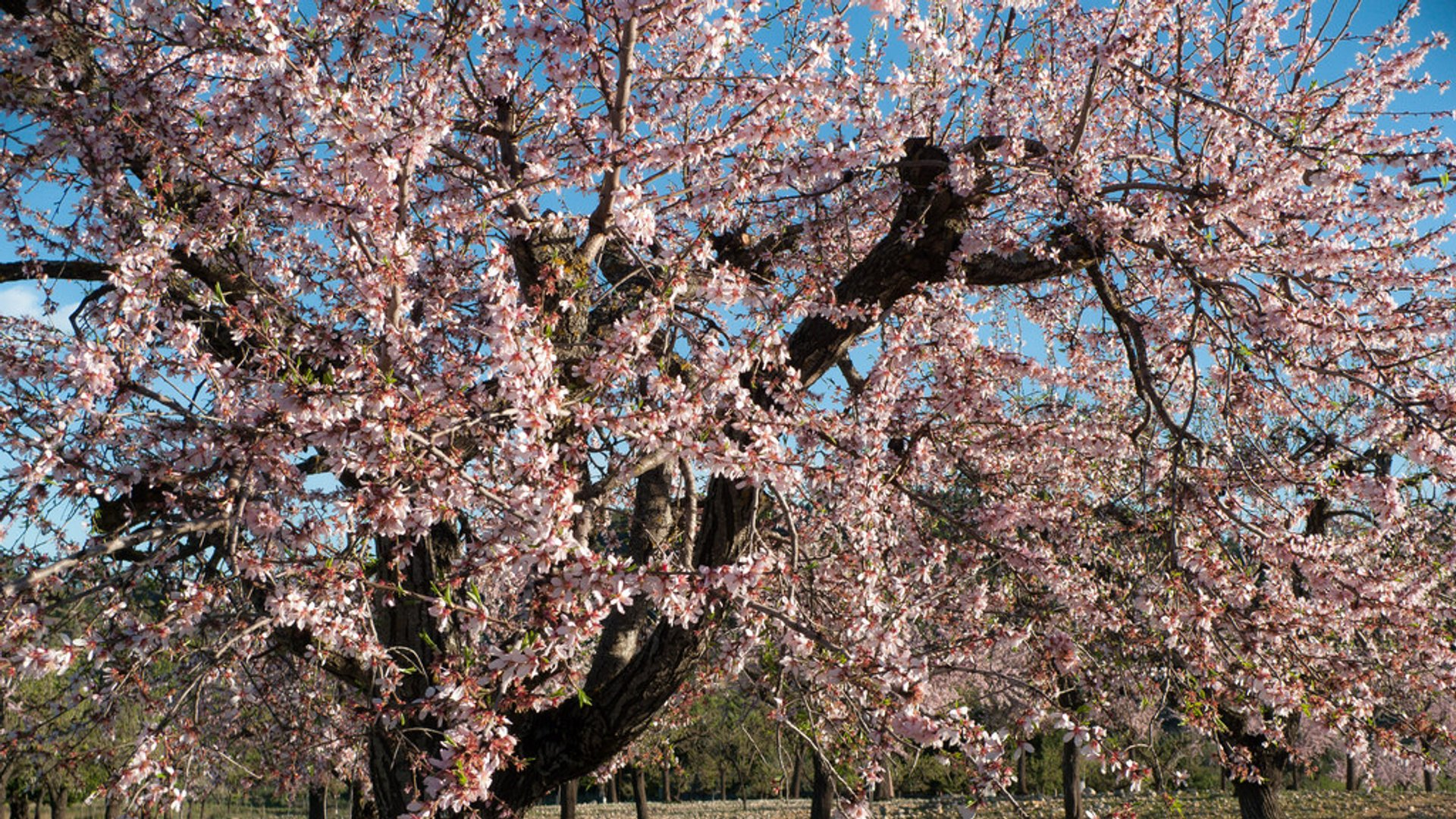 Best time for Almond Trees Blossom in Mallorca 2020