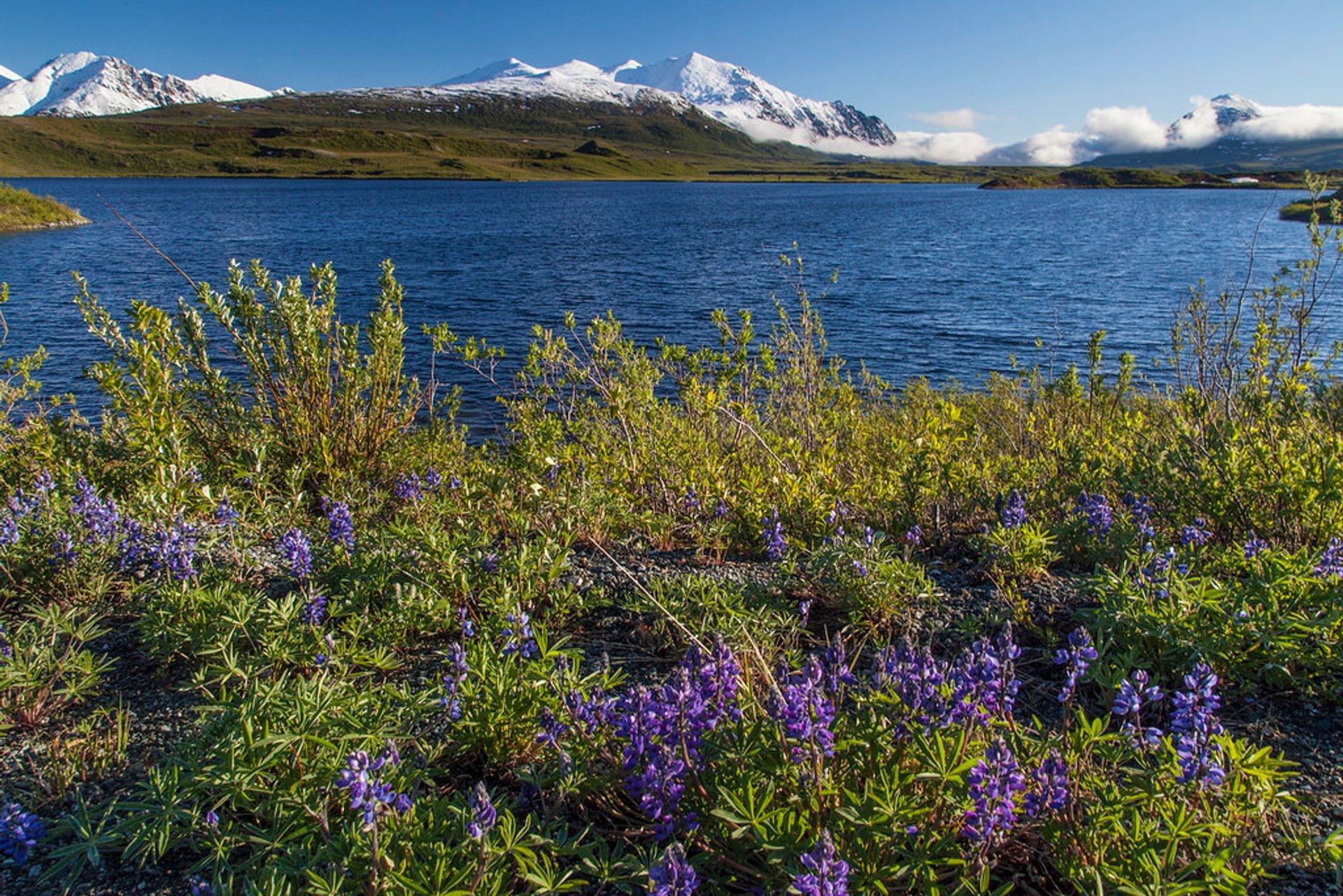 Arctic Lupine in Alaska 2019