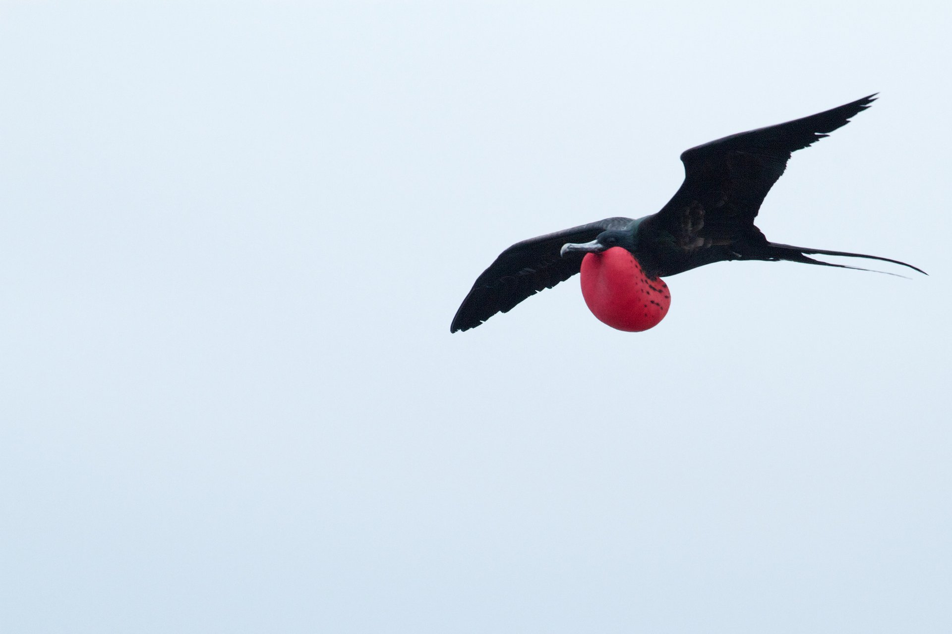 Frigatebirds in Galapagos Islands 2019 - Best Time