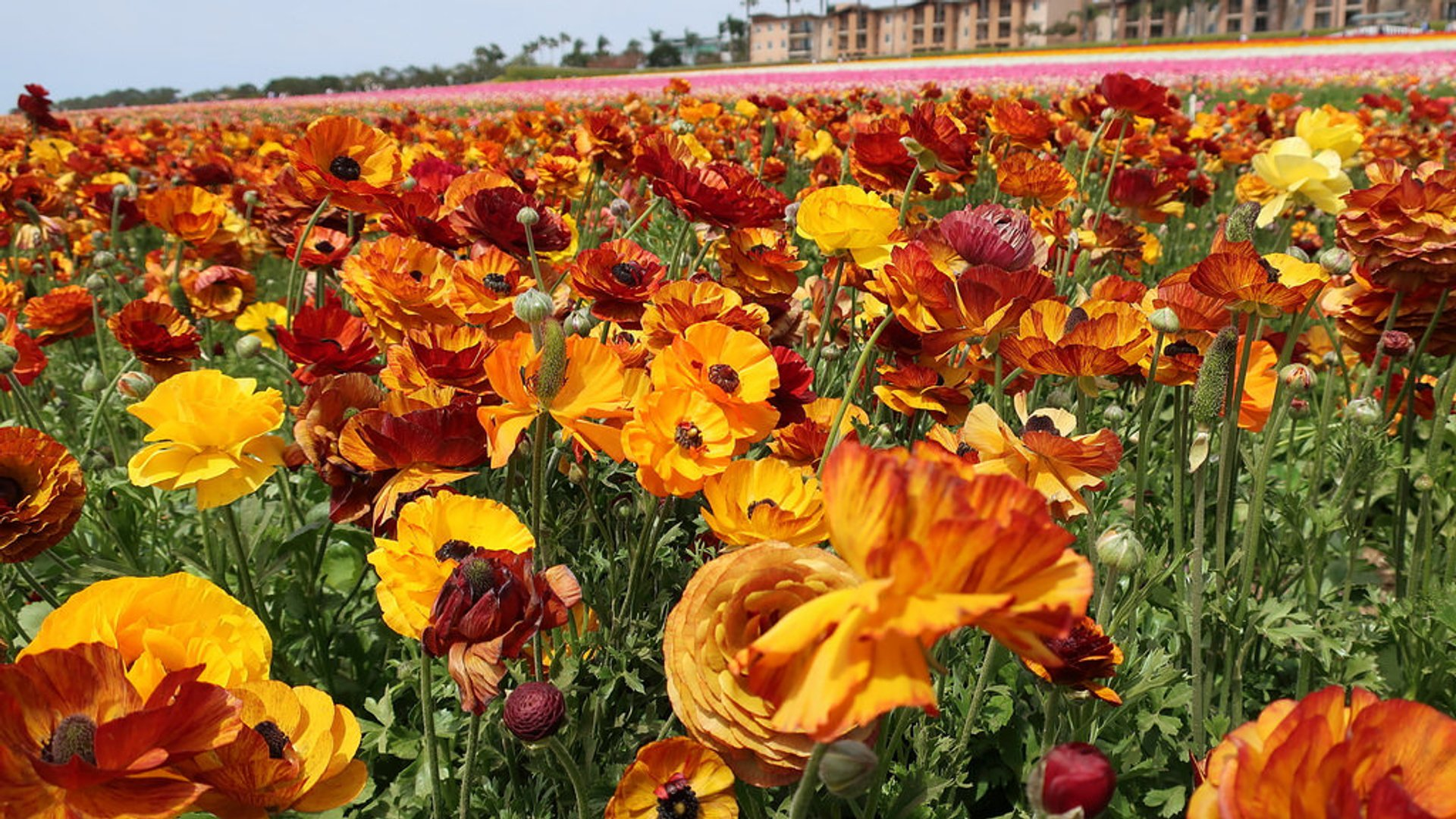 Best time for The Flower Fields at Carlsbad Ranch in San Diego 2019
